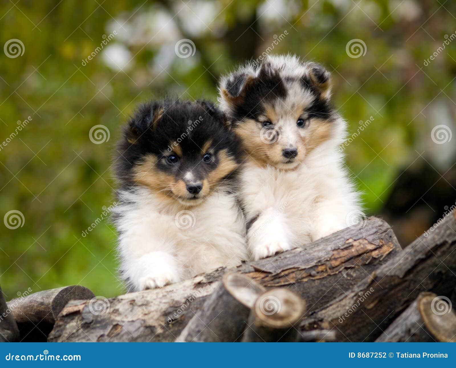 Boy Dog Names For Shetland Sheepdogs