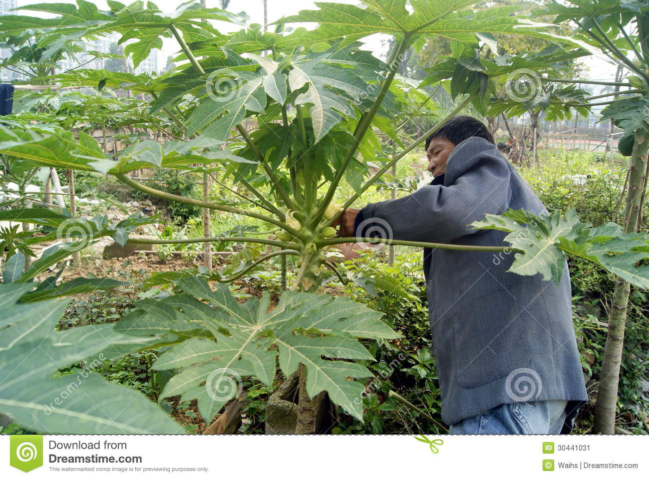 how to change a male papaya tree to be female