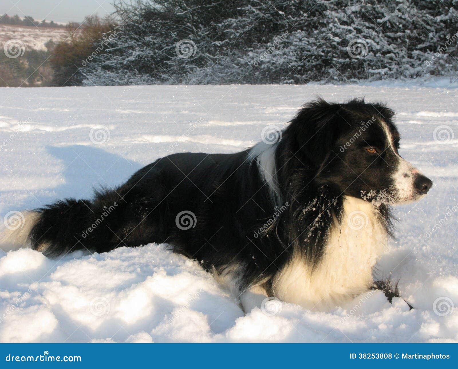 Shepard的狗-博德牧羊犬