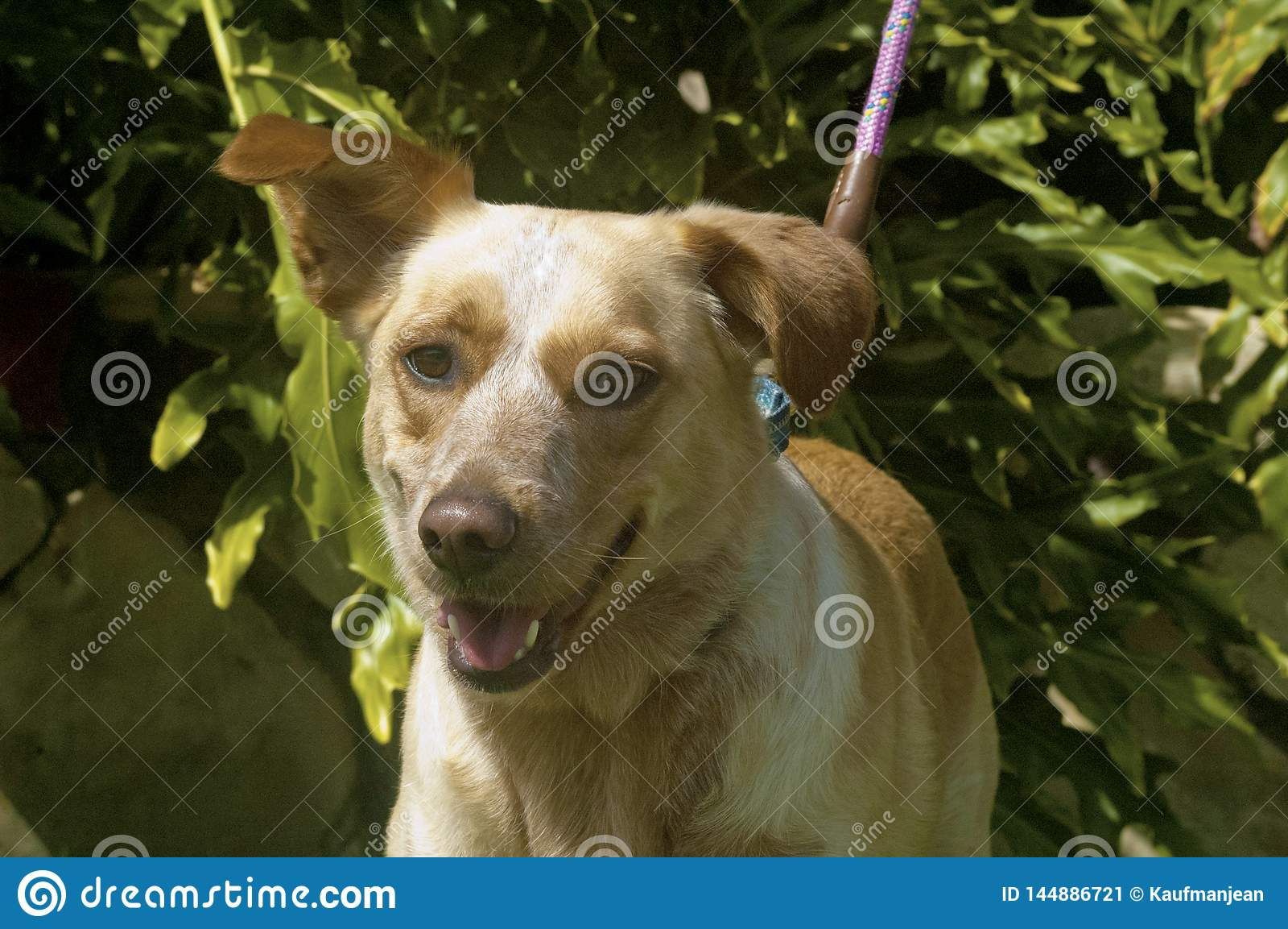Shepard misturado da raça e sorriso orelhudo flexível de labrador retriever