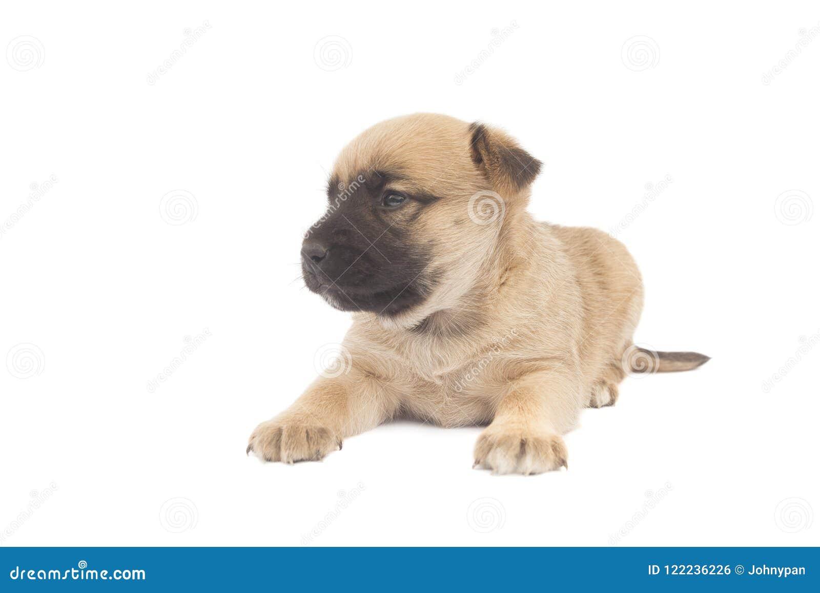 Sheperd baby dog or puppy