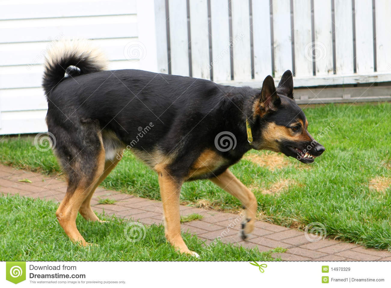 german shepherd stance shepherd aggressive stance royalty free stock images 7954
