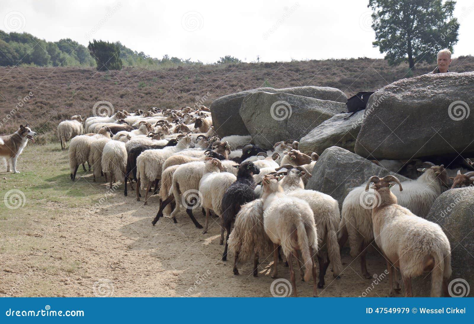 Shepherd avec des moutons près du dolmen du havelte, Hollande