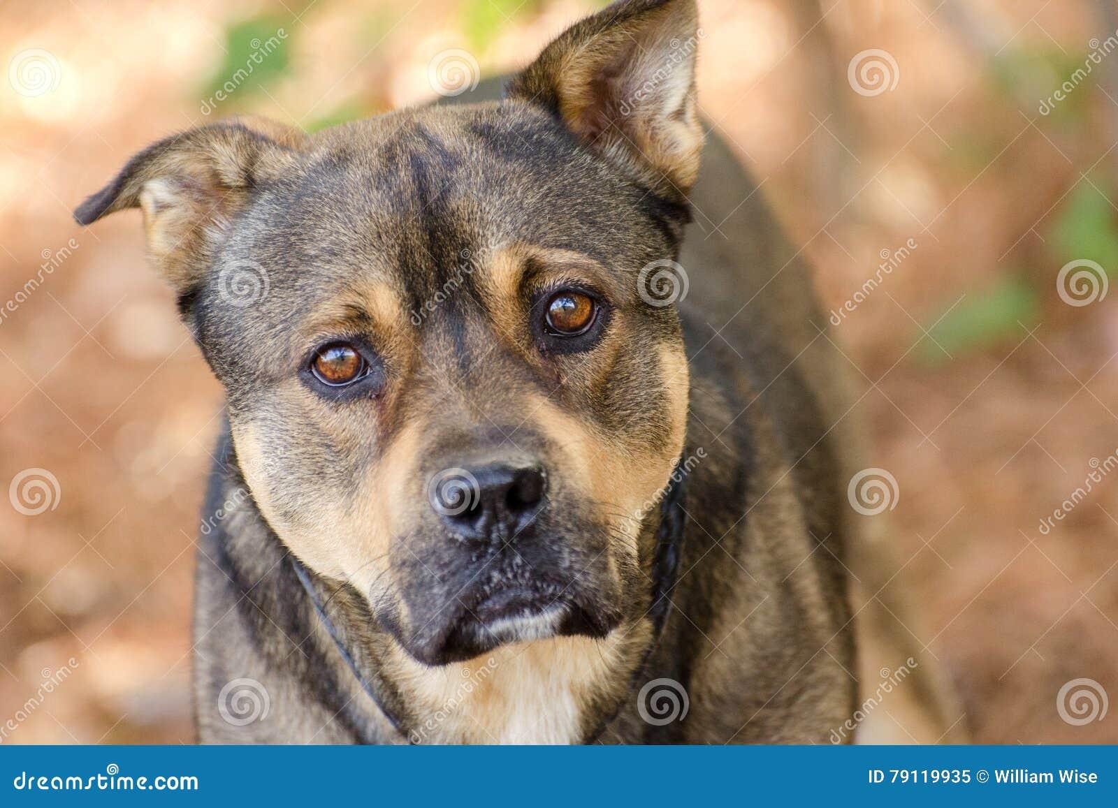 Shepherd Bulldog Mix Adoption Stock Image Image