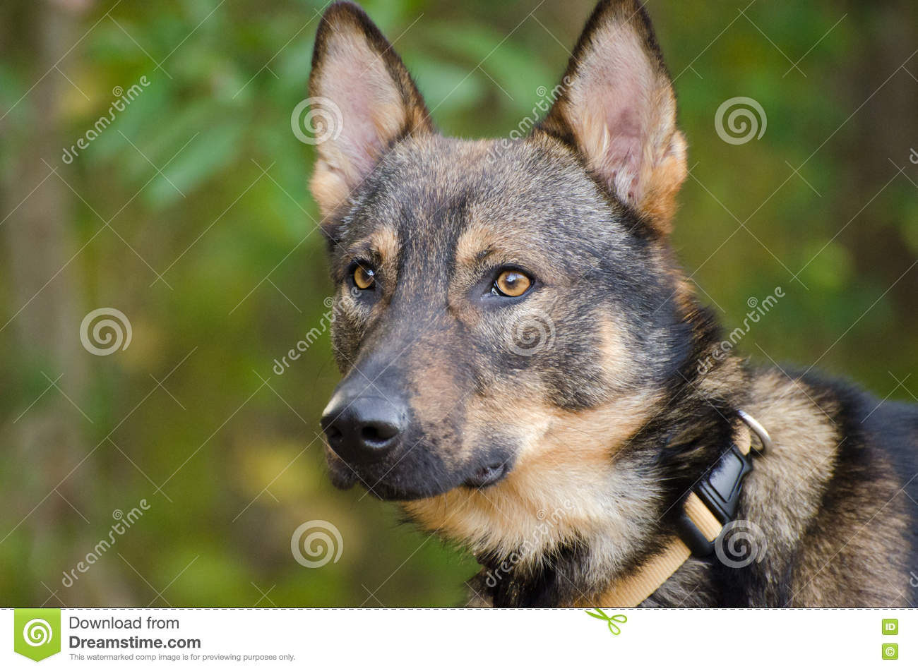 coyote german shepherd shepherd coyote adoption photo stock photo image of