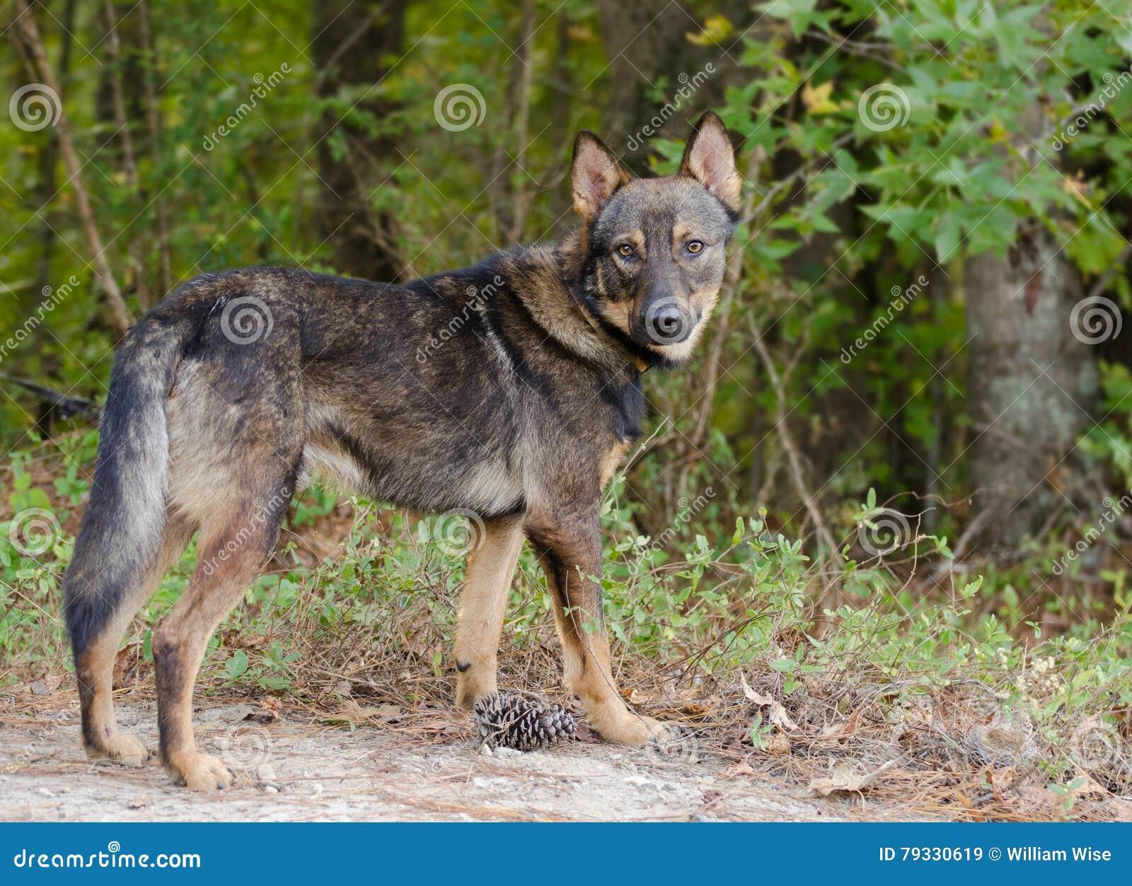 Shepherd Coyote Adoption Stock Image Image