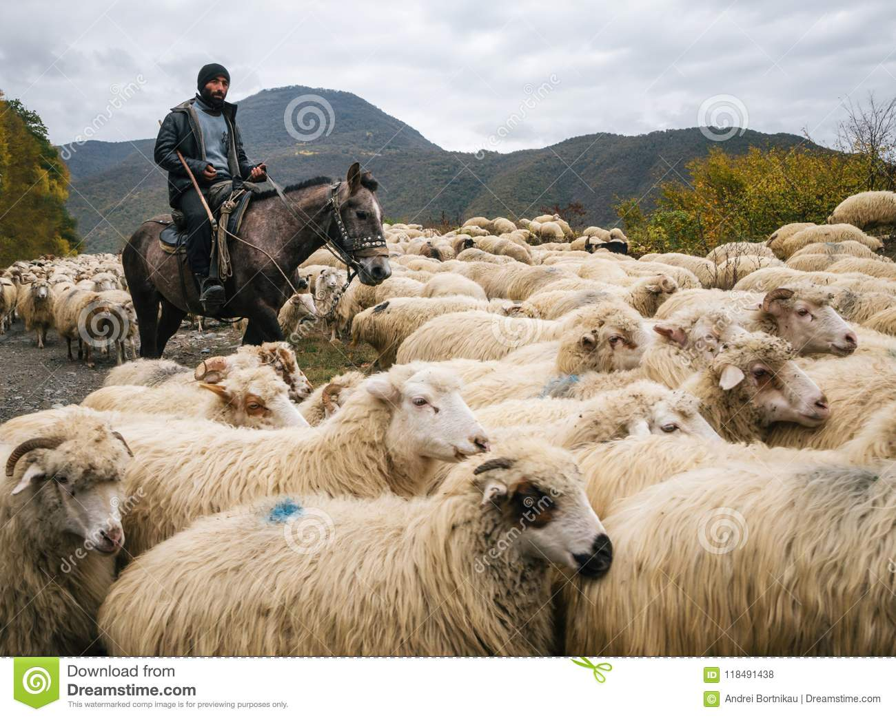 Shepherd with crook riding horse and herding group of sheep