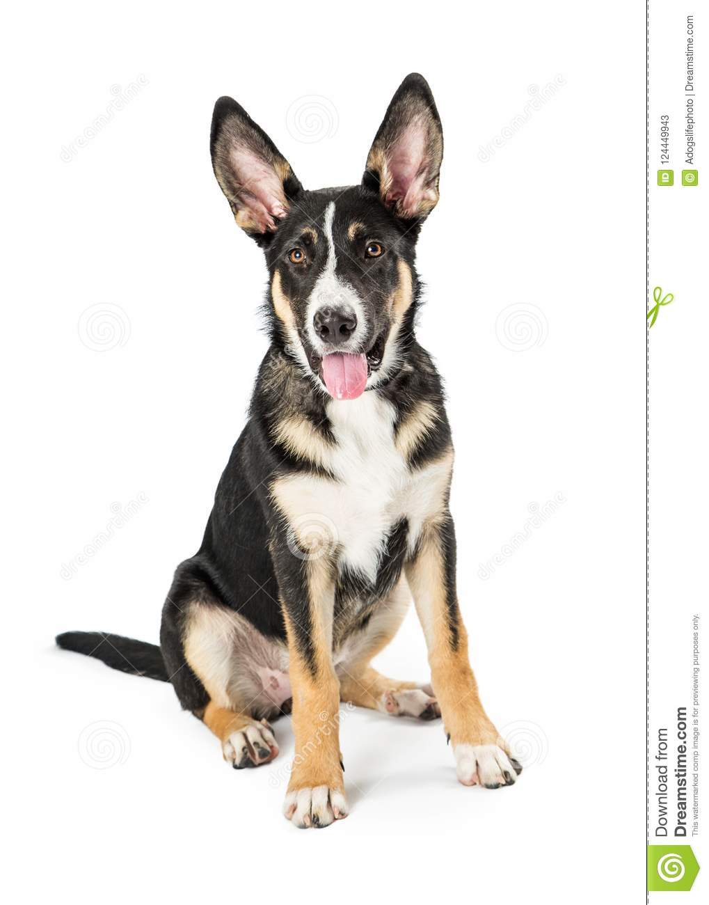 Shepherd Crossbreed Young Dog Happy Expression