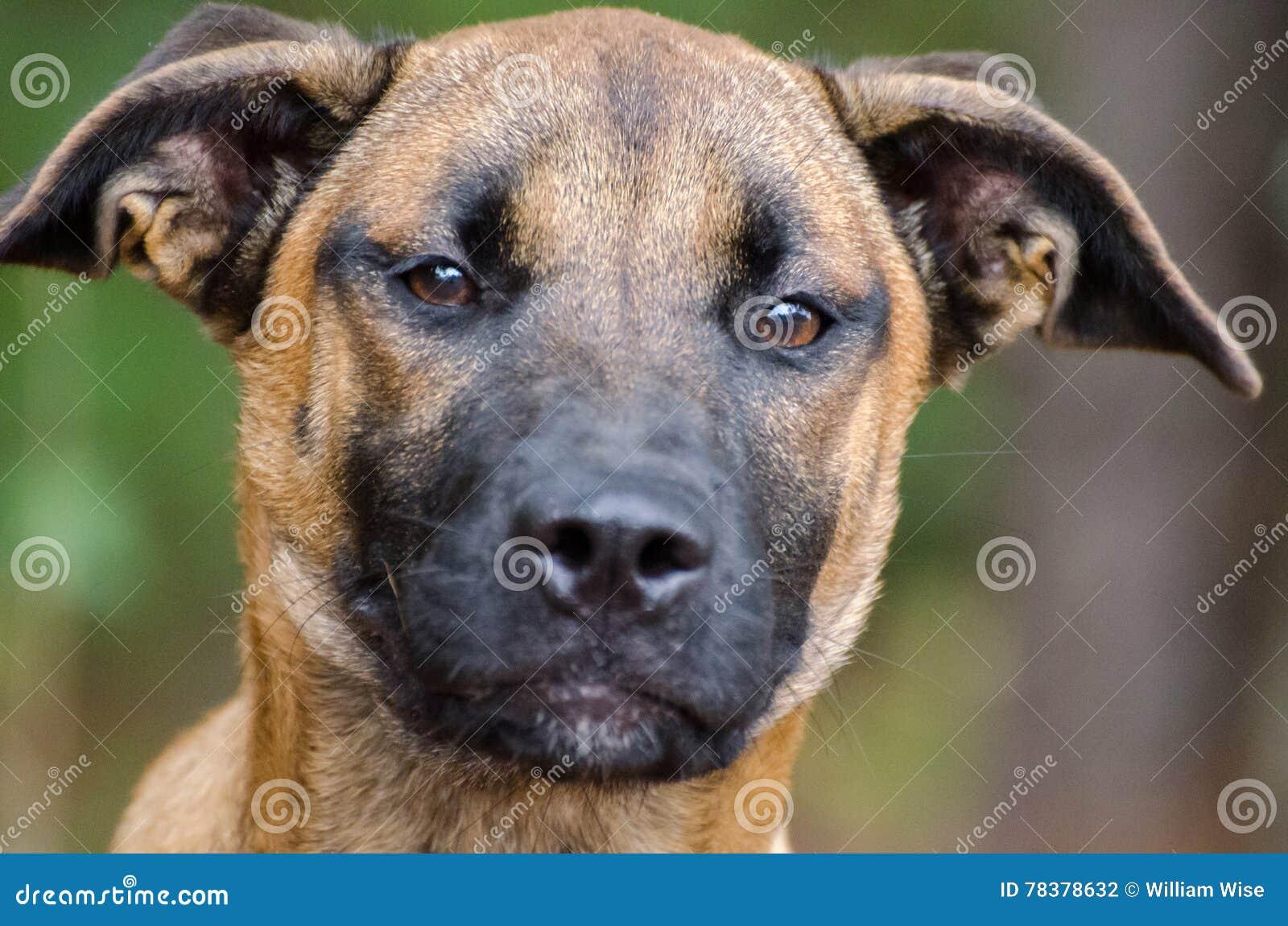 Shepherd Dobie Mutt Mixed Breed Stock Image