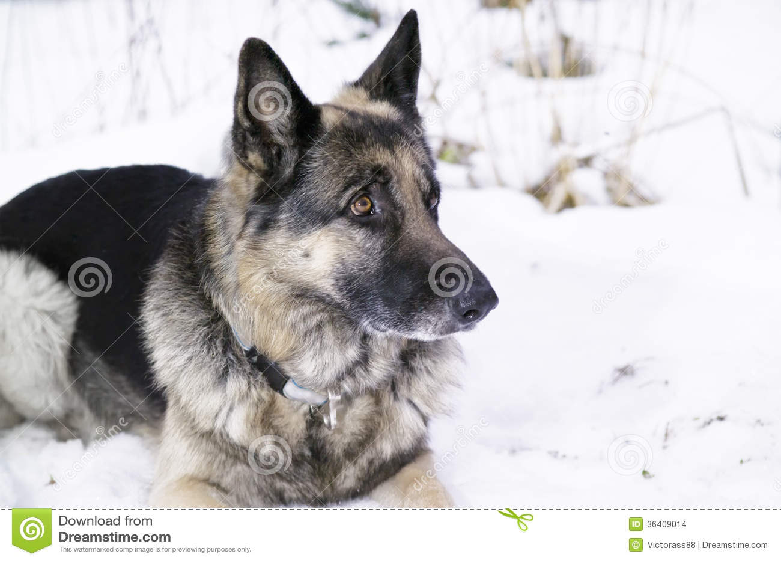 Shepherd Dog Stock Images - Image: 36409014