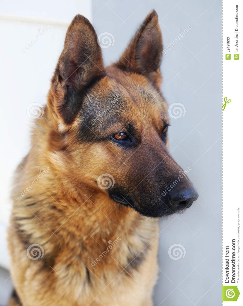german shepherd brown shepherd stock photo image 52491833 2579