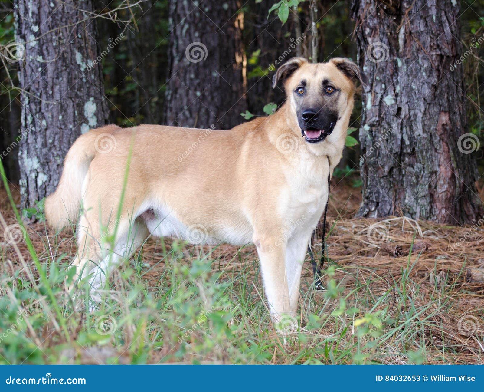 mastiff shepherd mix