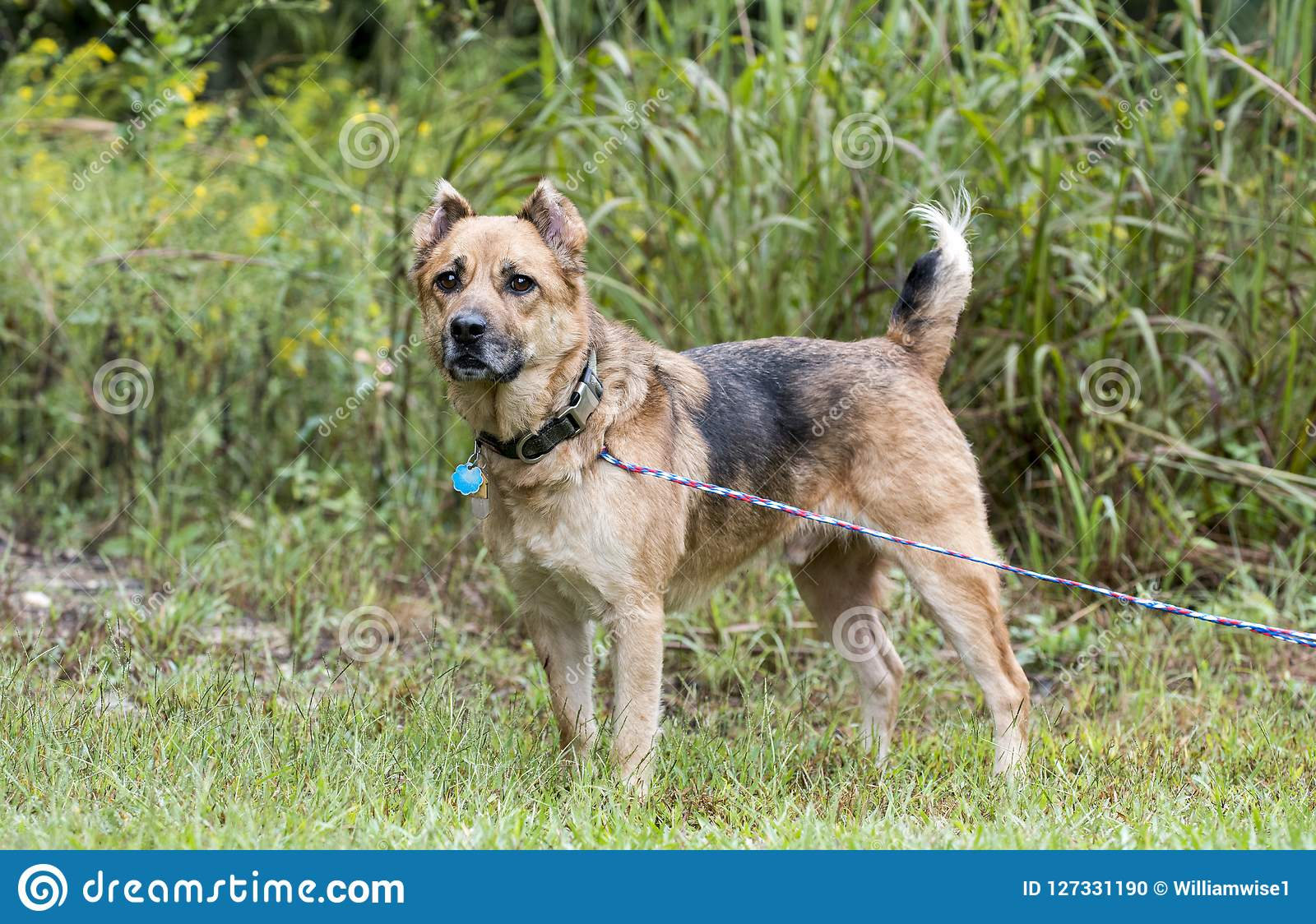 Shepherd Mix Dog With Leash Collar And Tags Stock Photo