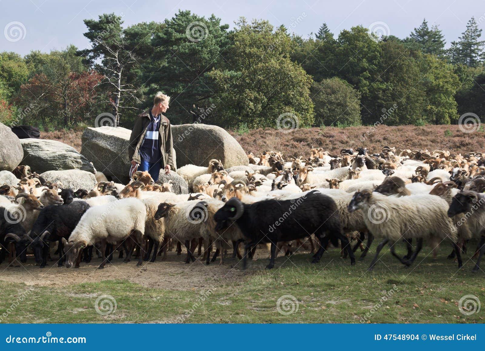 Shepherd près des dolmens du havelte, Hollande