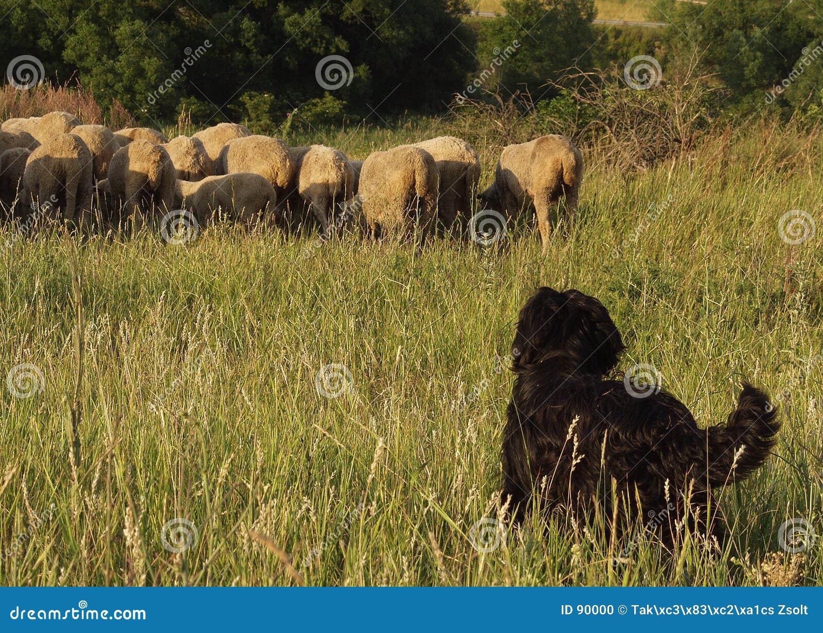 Shepherd psów