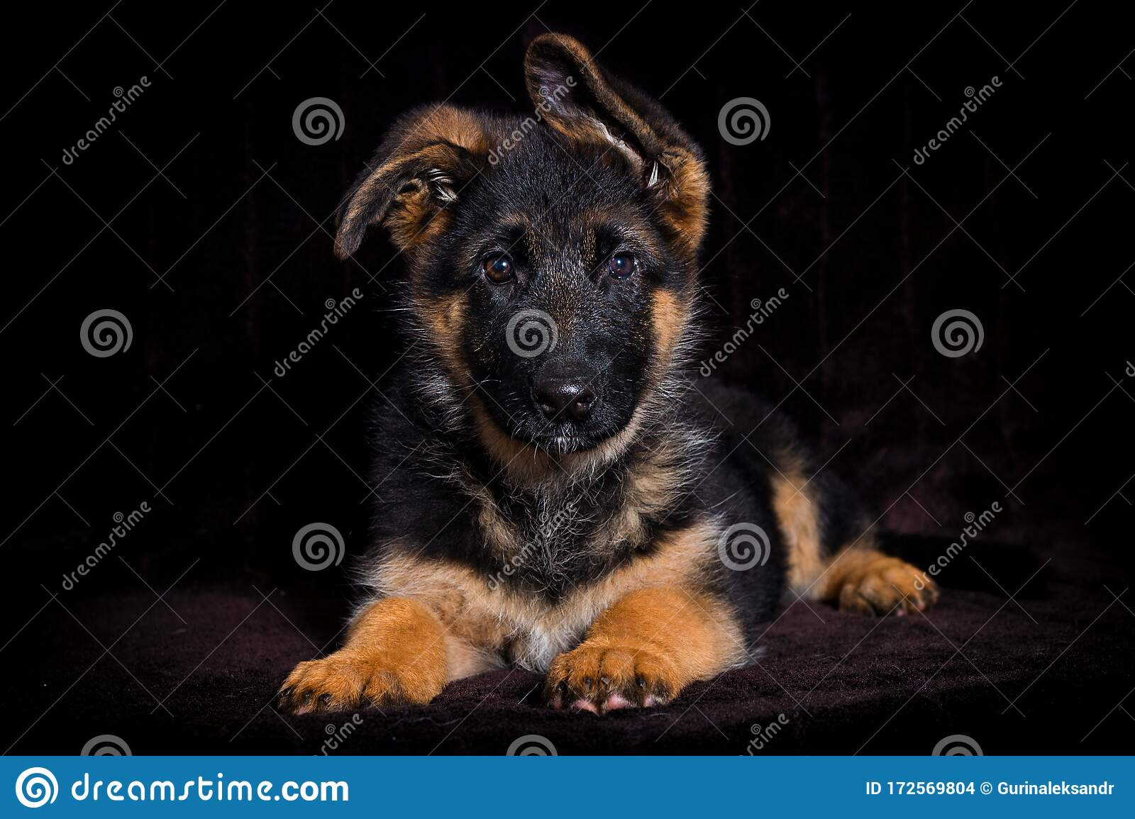 Shepherd Puppy On A Brown Stock Photo Image Of Small 172569804