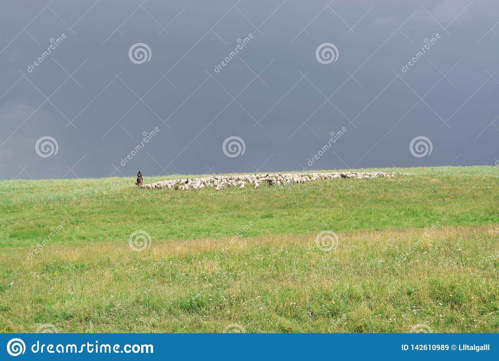 Shepherd with sheep. Flock graze on the hill. Green Hill. Summer season.