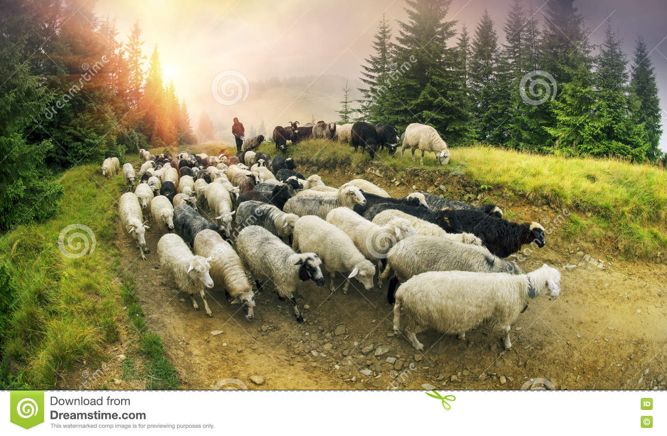 Who are the shepherds trying to graze in the night