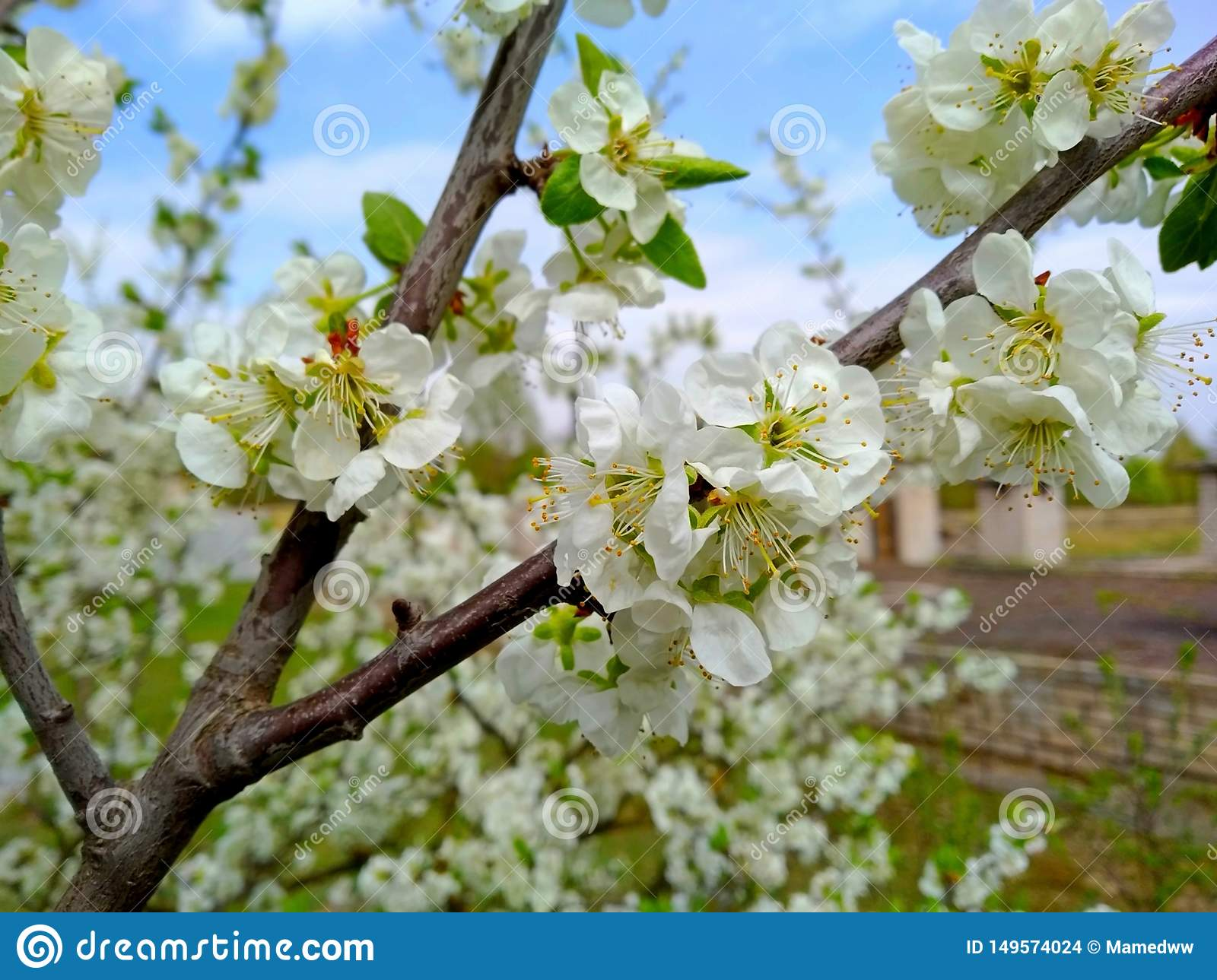 Sherry tree blossoms spring