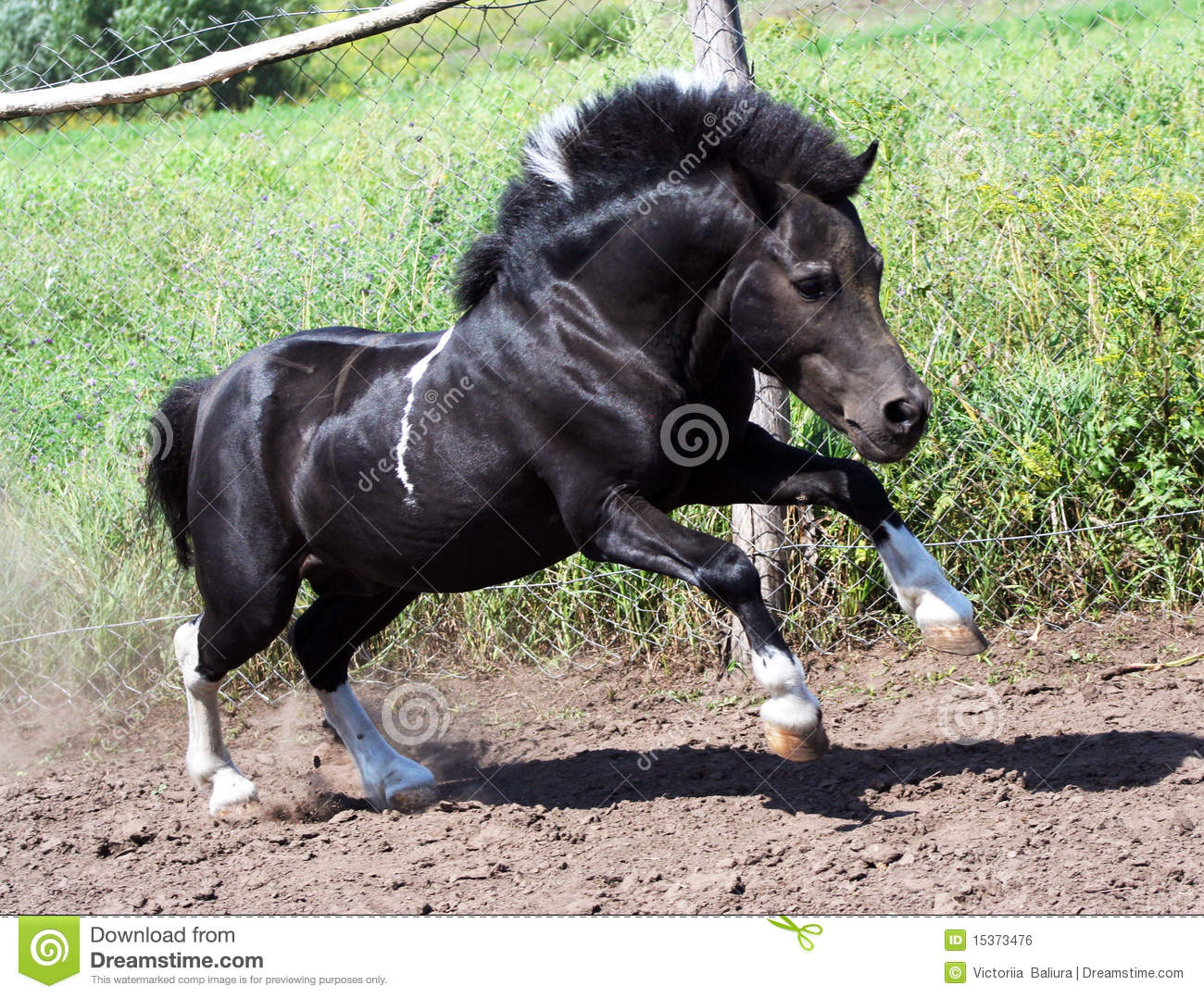 Shetland pony, beautiful little horse, black stallion at liberty, pony ...