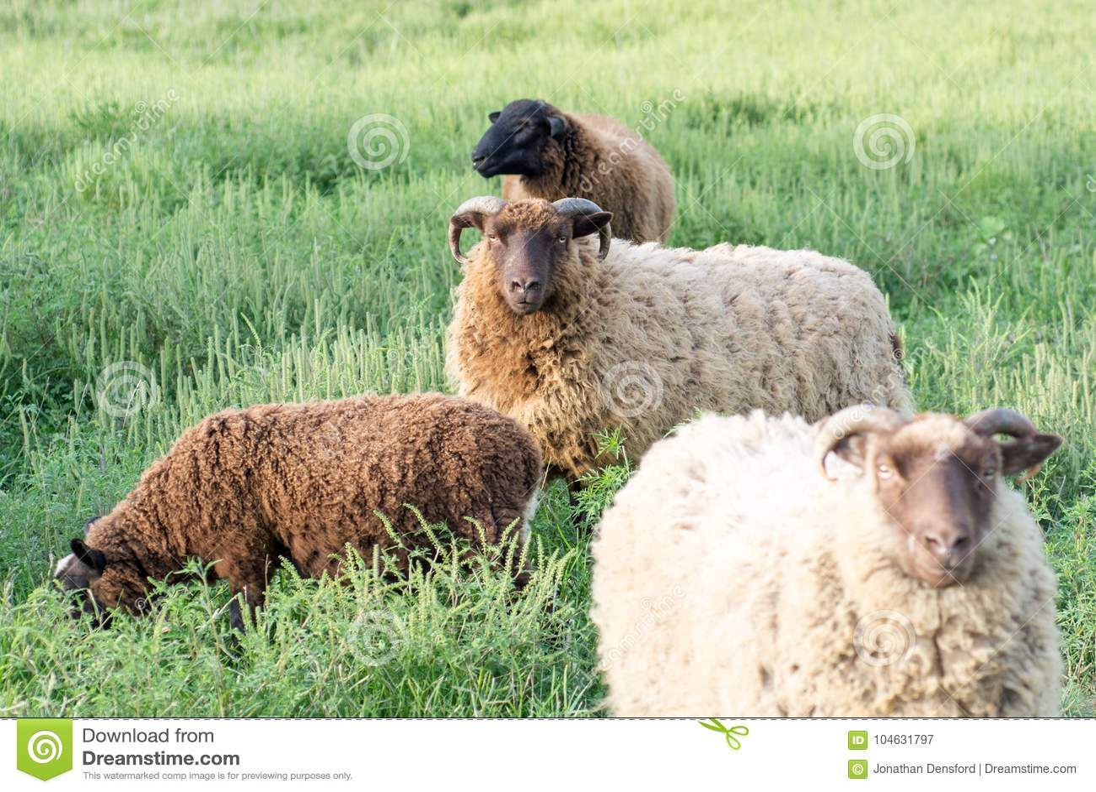 Download Shetland Ram Surrounded Door Ander Shetland En Finn Sheep Stock Afbeelding - Afbeelding bestaande uit troep, gebied: 104631797