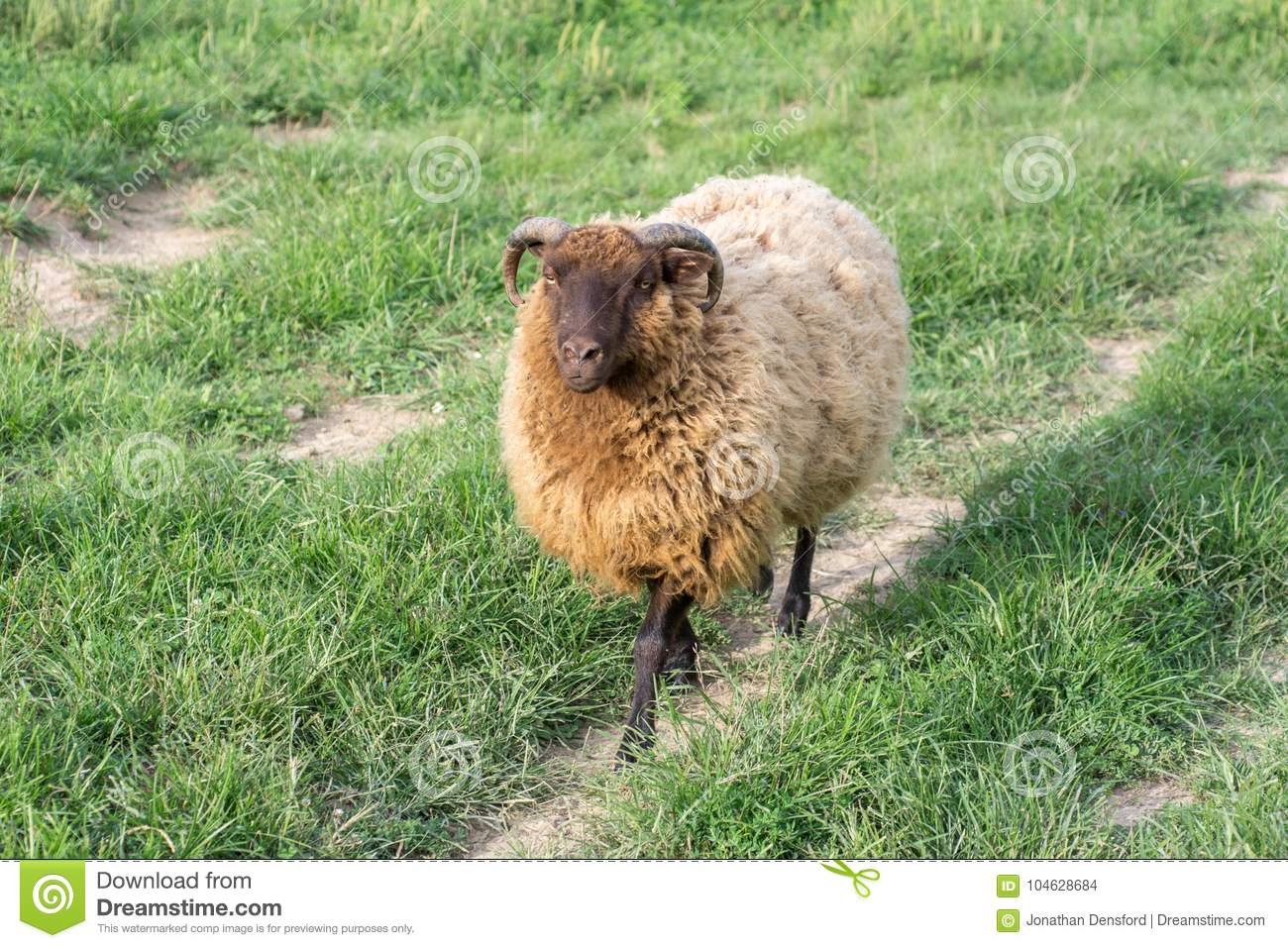 Download Shetland Ram Walking Along Dirt Path Stock Foto - Afbeelding bestaande uit platteland, vrij: 104628684