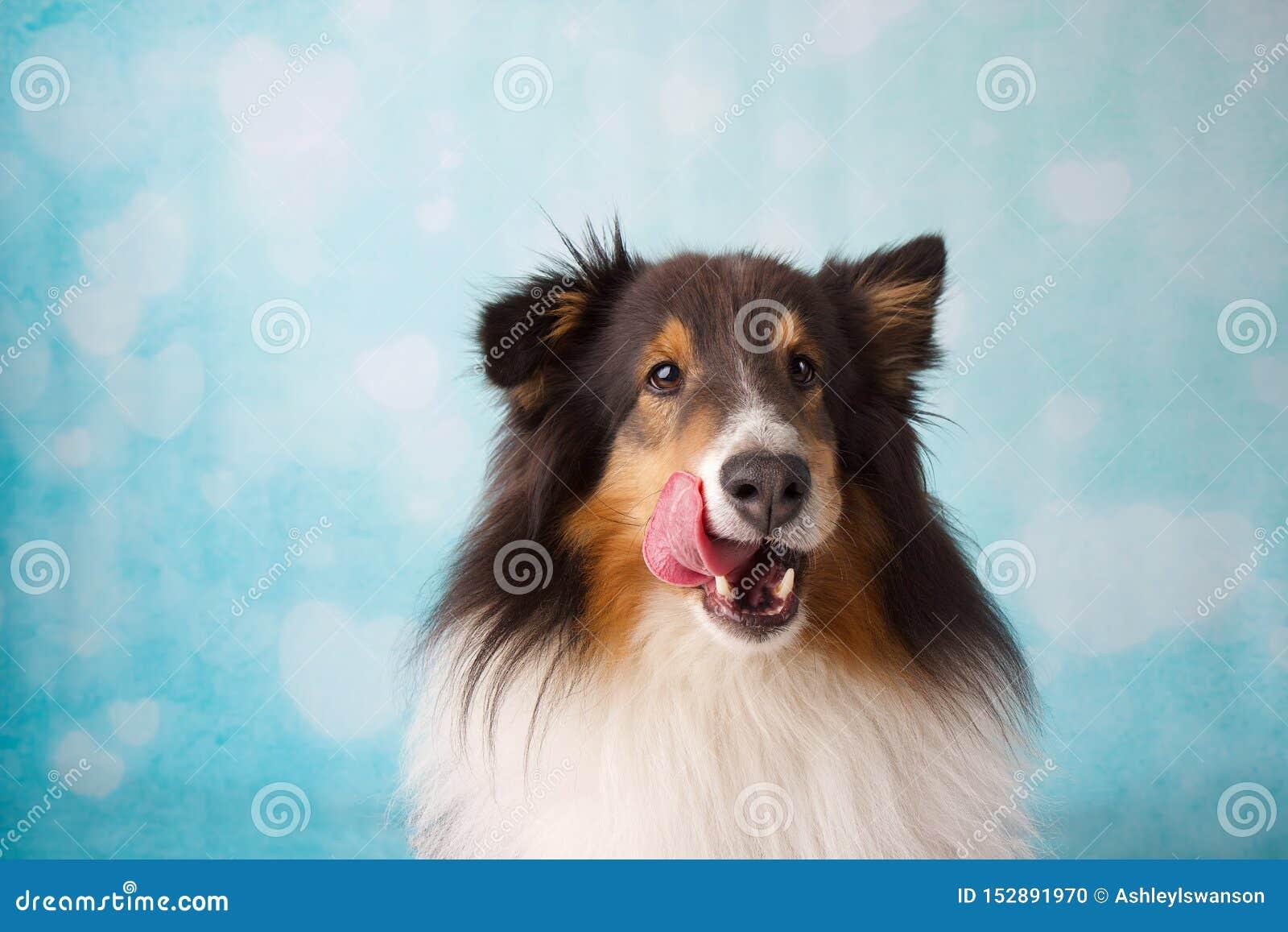 Shetland Sheepdog portret na Błękitnym i Białym tle z nim jest jęzorem Wtyka Za