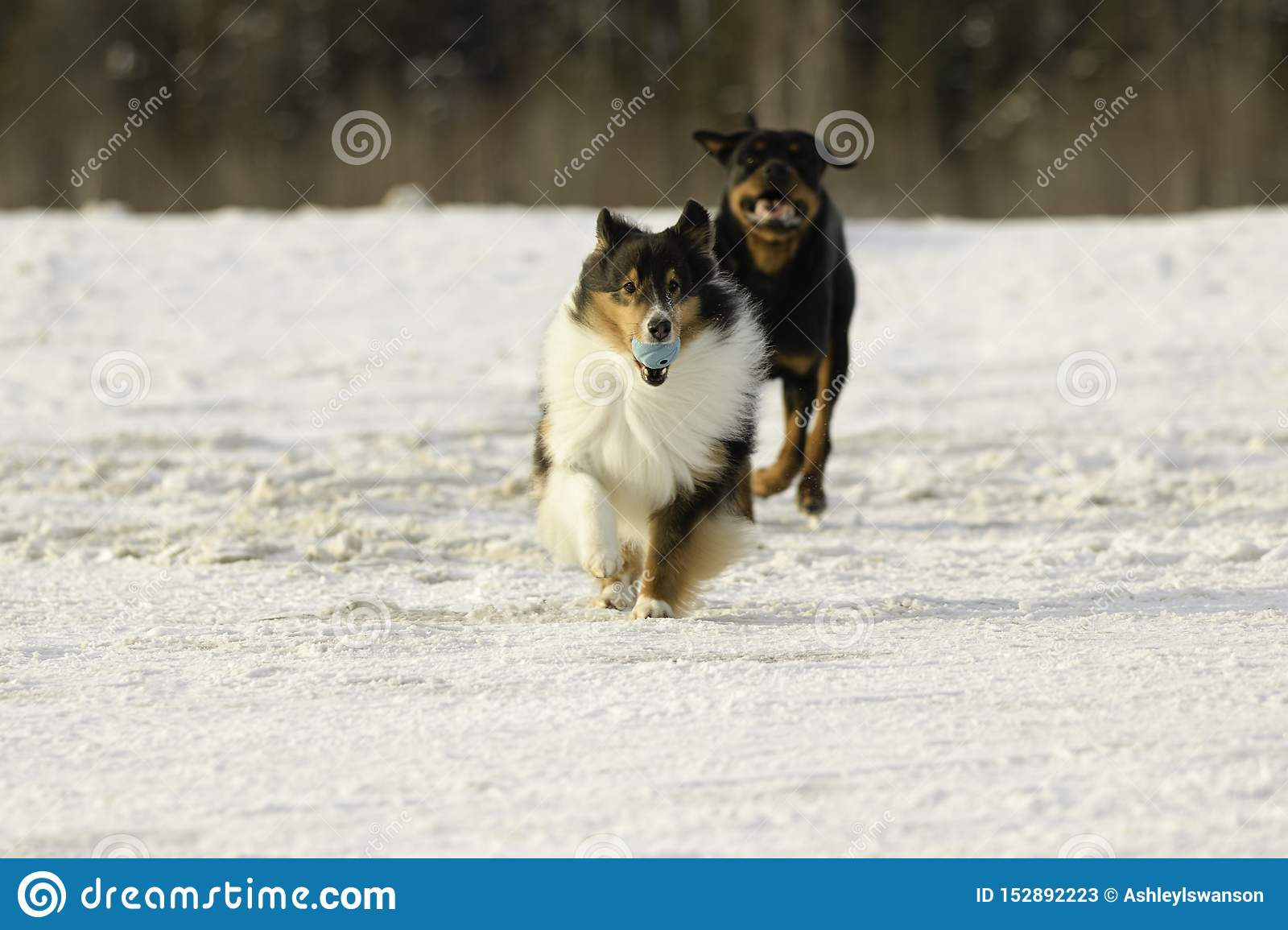 Shetland Sheepdog and Rottweiler Playing Fetch in the Snow in Winter