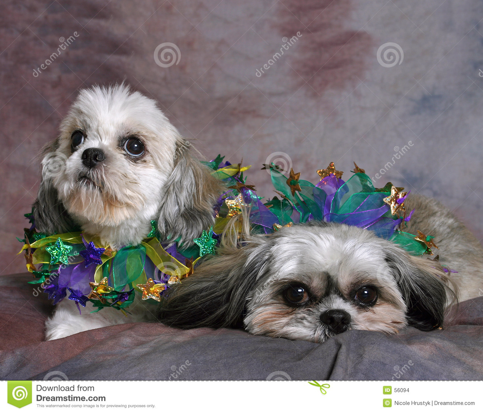 Shi δύο σκυλιών tzu