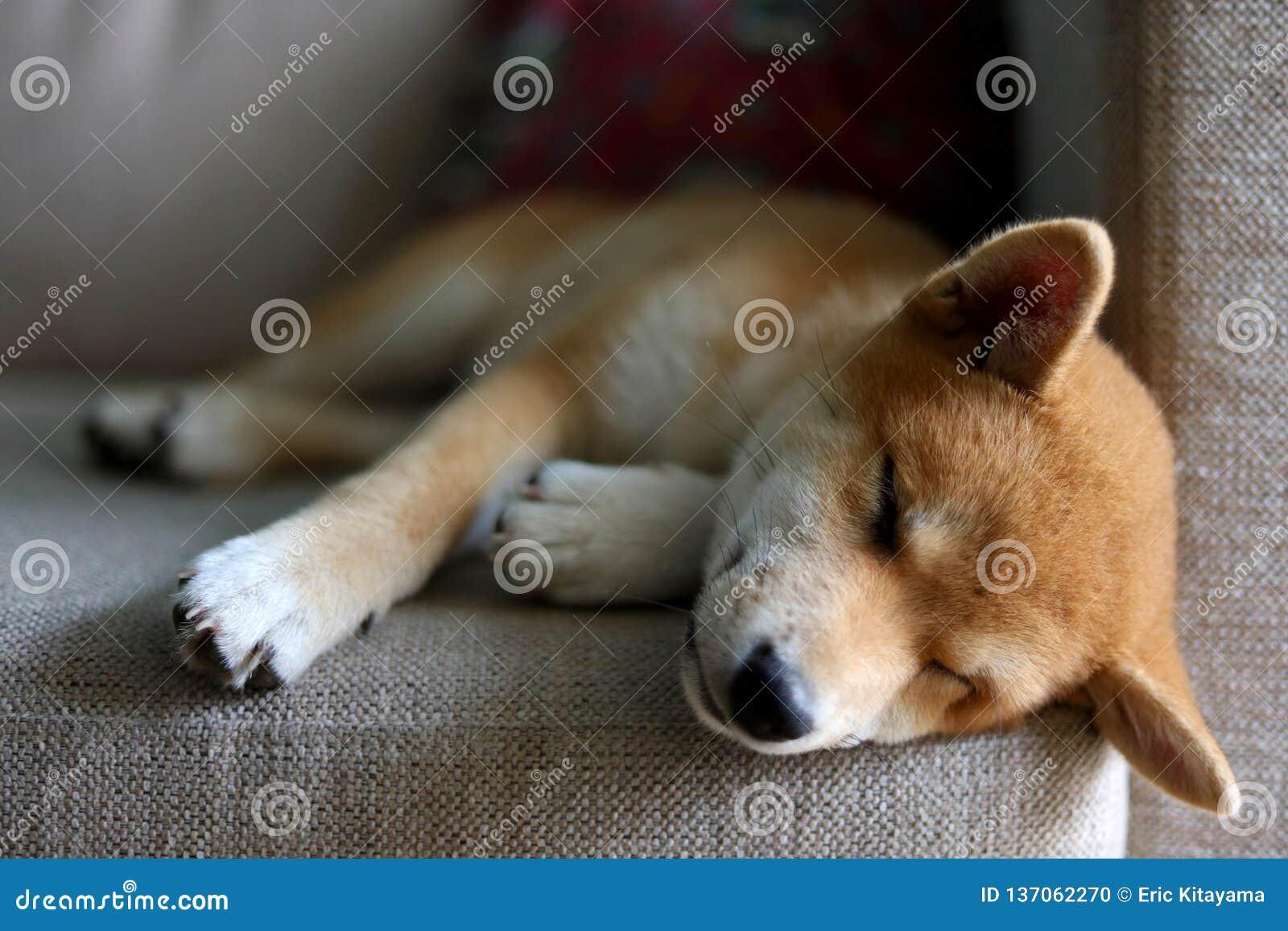 Super Shiba Inu Dog Sleeping Stock Photo Image Of Park Snow Cjindustries Chair Design For Home Cjindustriesco