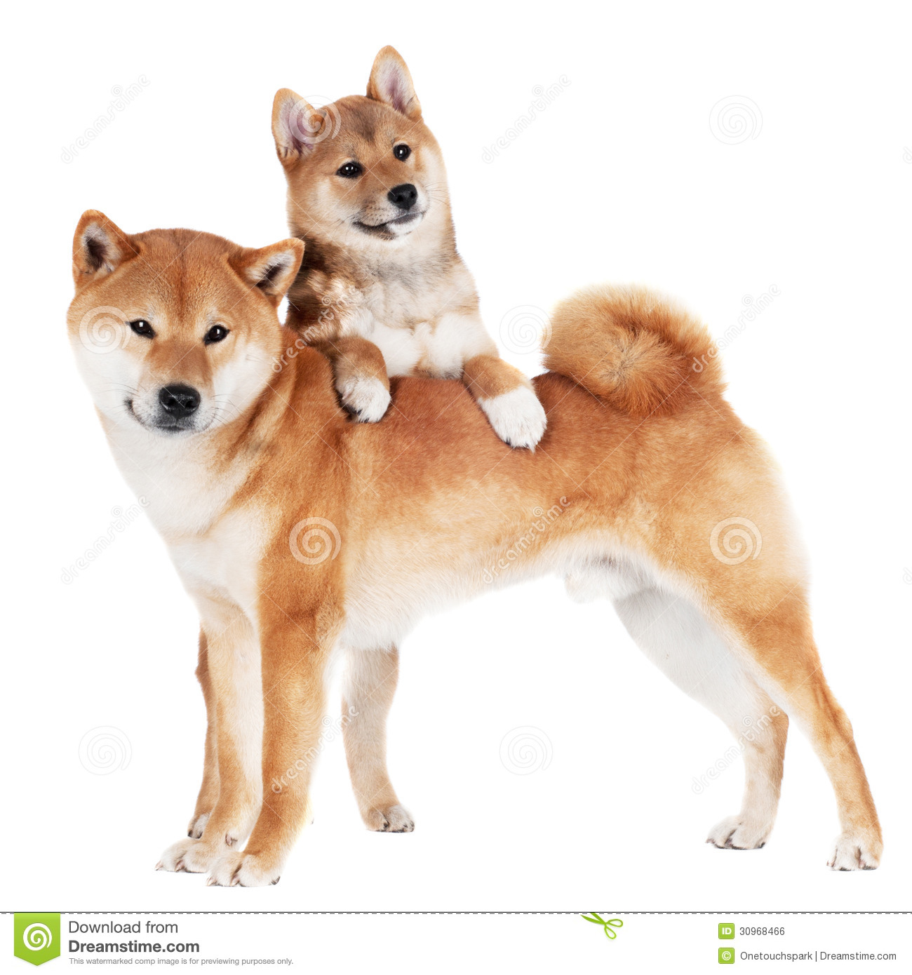 shiba inu hund und welpe stockfoto bild von freund schauen 30968466. Black Bedroom Furniture Sets. Home Design Ideas