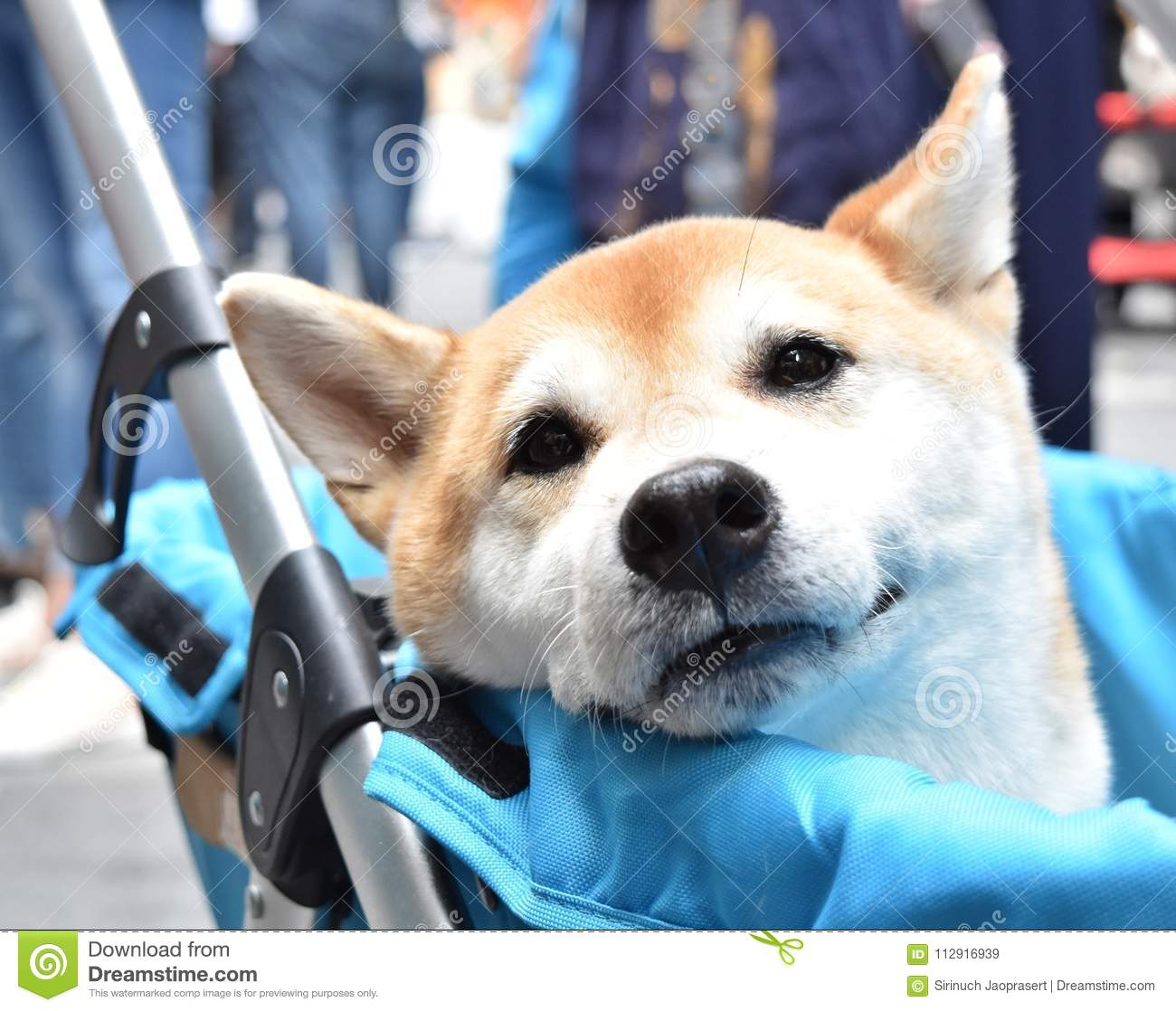Shiba Inu Japanese dog is sitting in baby carriage, smiling softly