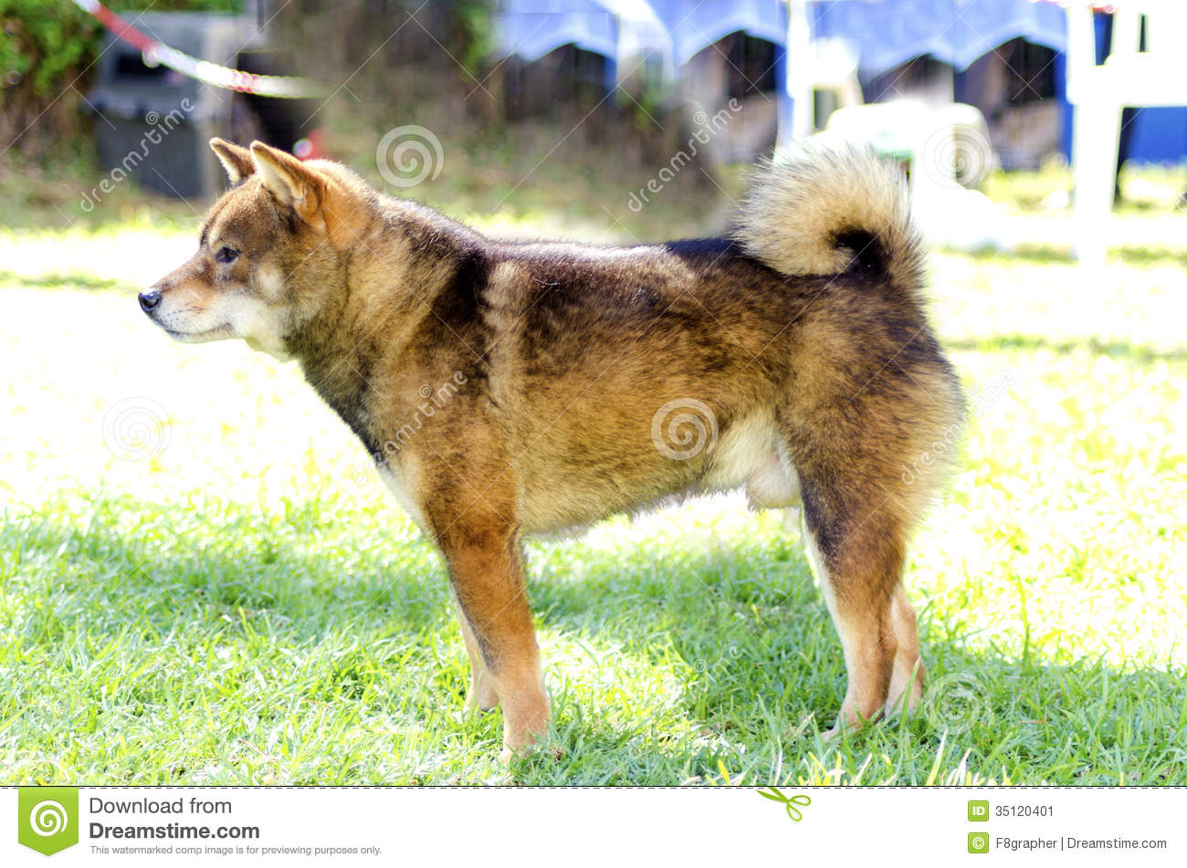 ... dog standing on the lawn. Japanese Shiba Inu dogs are similar to Akita