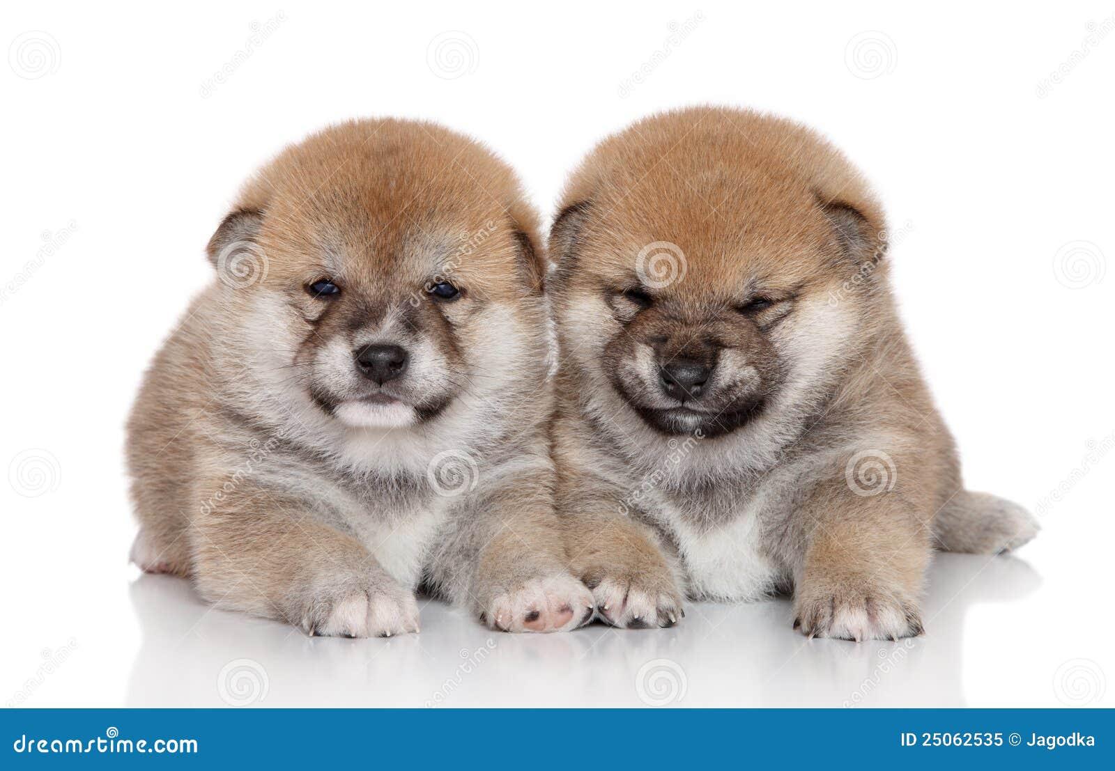Shiba Inu Puppies Royalty Free Stock Photo - Image: 25062535
