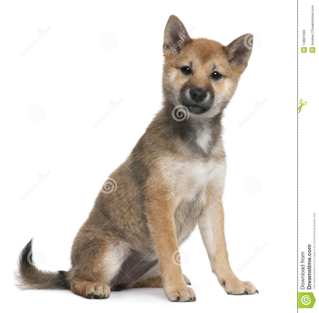 shiba inu puppy 5 months old sitting royalty free stock