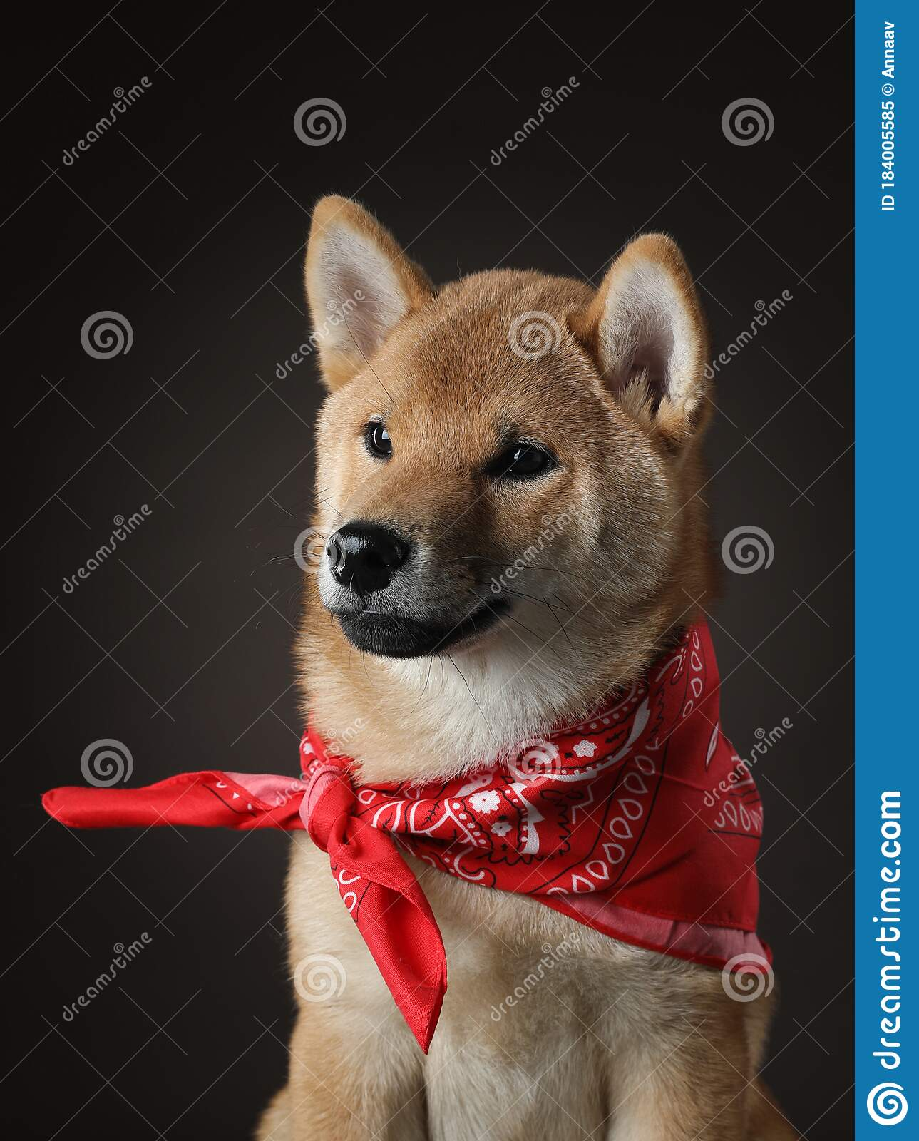 Shiba Inu Puppy Dog On A Black Background Pet In The Studio Stock Image Image Of Doggy Brown 184005585