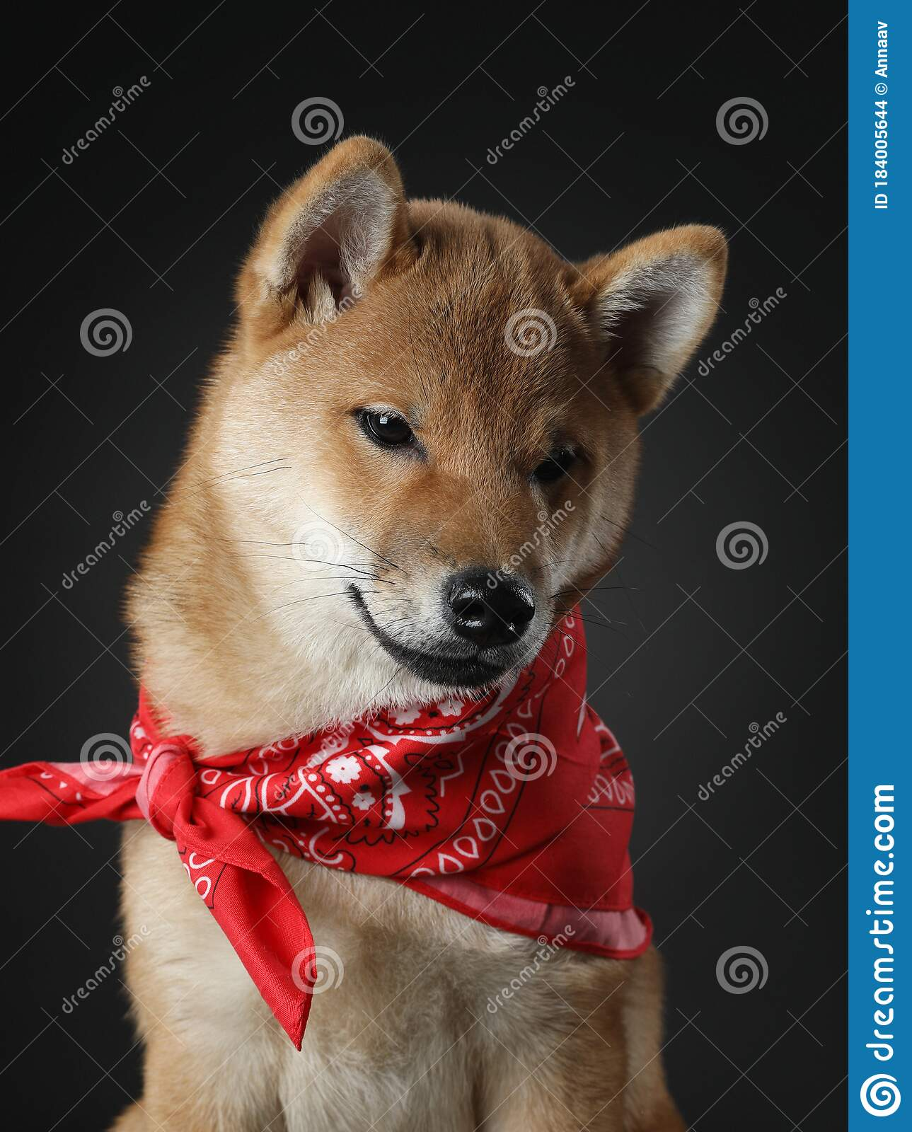 Shiba Inu Puppy Dog On A Black Background Pet In The Studio Stock Photo Image Of Baby Japan 184005644