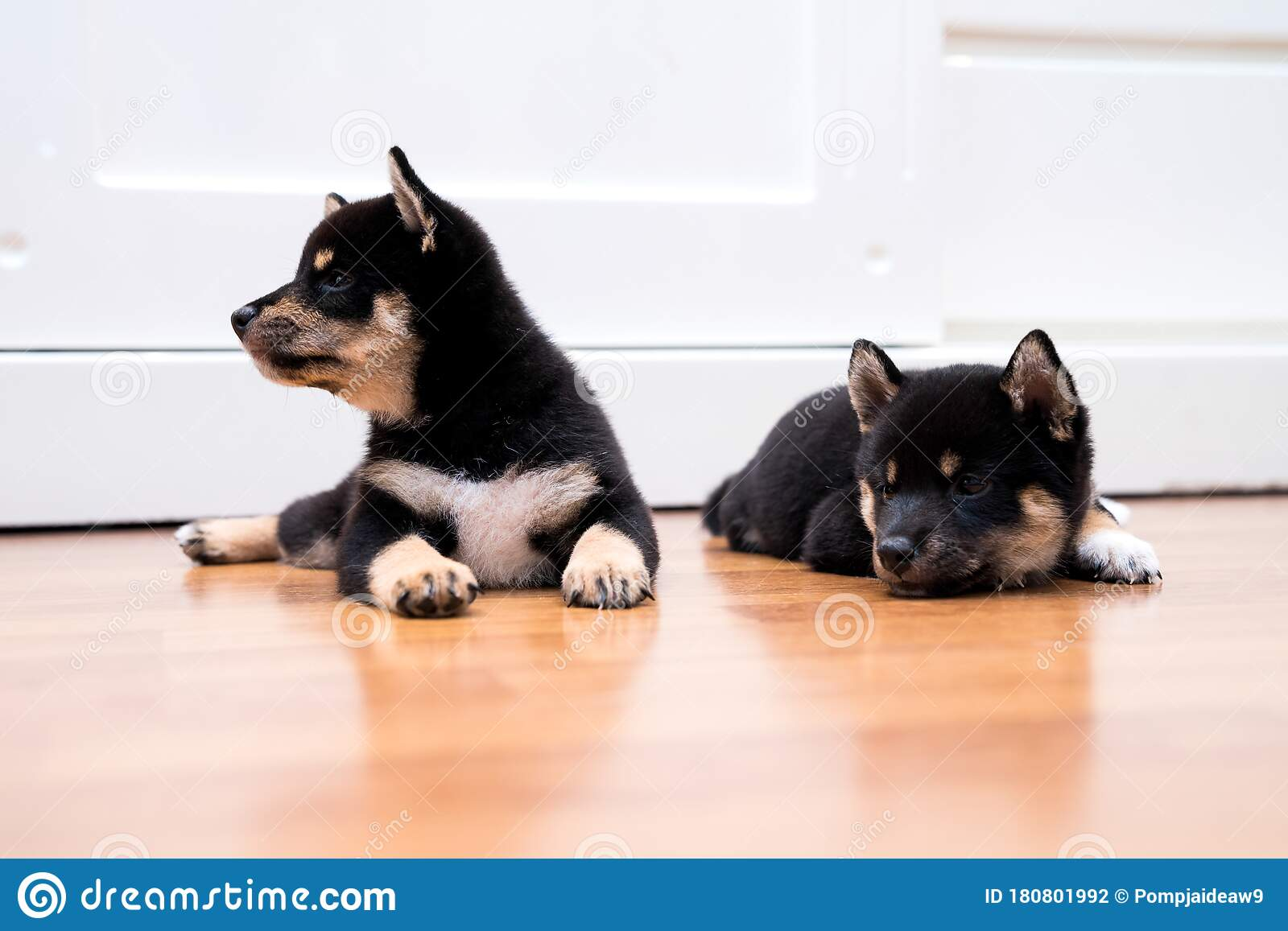 Shiba Inu Puppy Japanese Shiba Inu Dog Beautiful Shiba Inu Puppy Color Black And Tan 35 Day Old Puppy On Wooden Floor Space Stock Photo Image Of Animal Pedigree 180801992