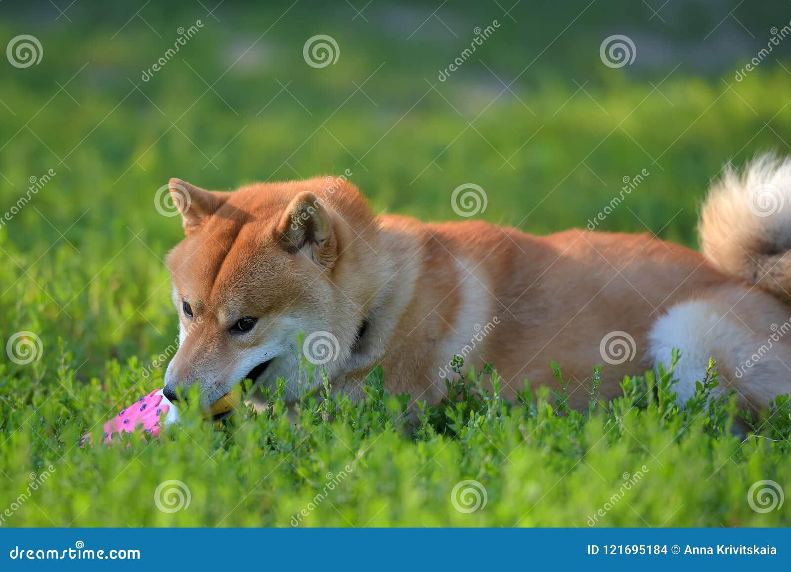 Shiba-inu zerfrisst ein Spielzeug