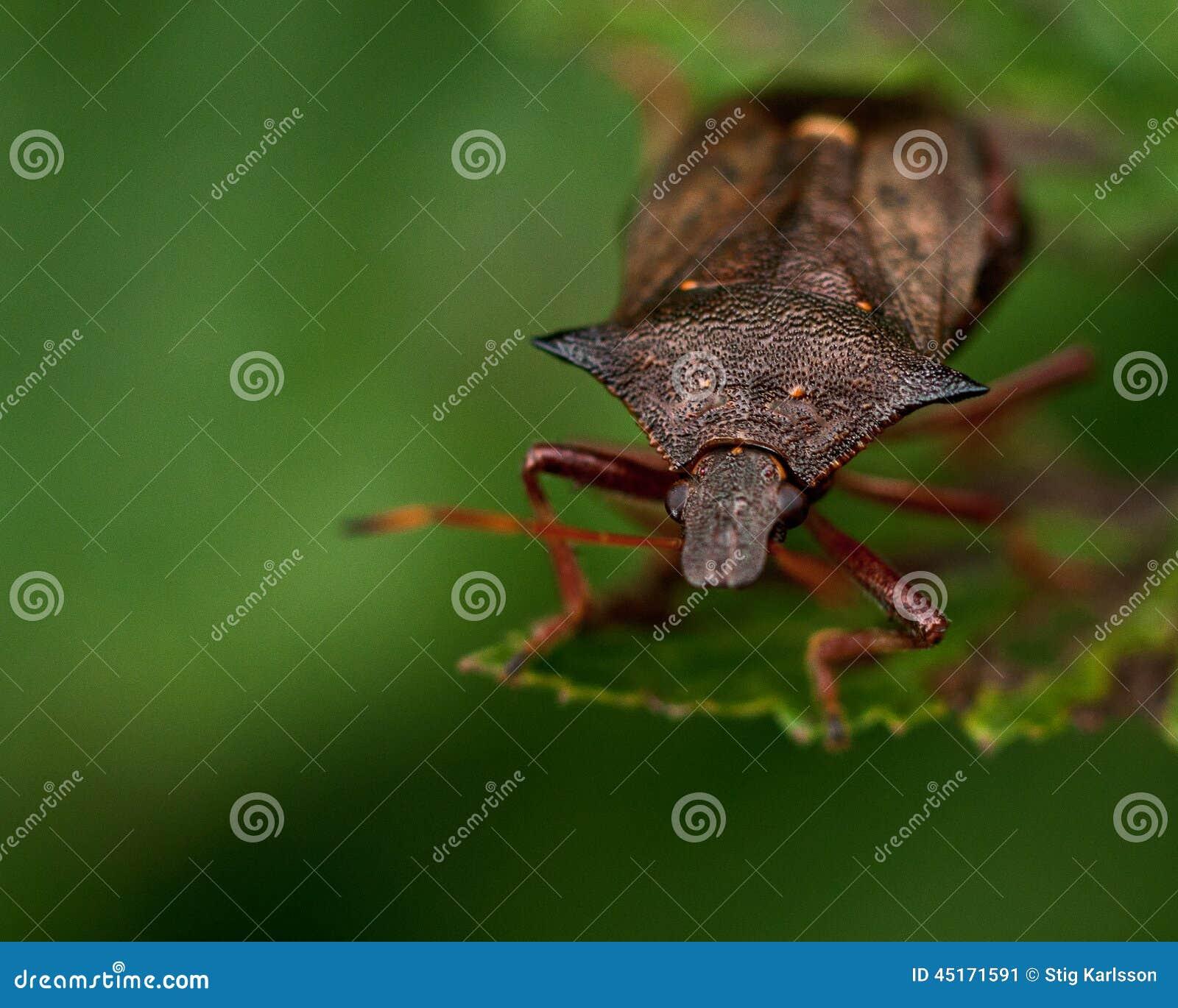 Shieldbug cravado bidens de Picromerus
