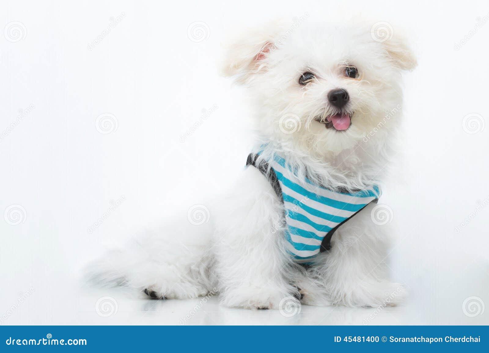 Shih慈济小狗品种微小的狗
