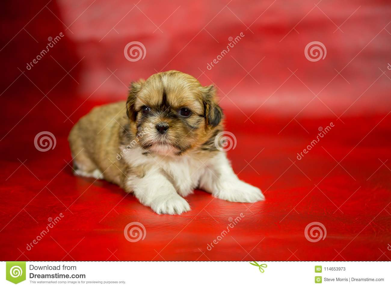 Shih Tzu Puppy On A Red Background Stock Image Image Of Companion Breed 114653973