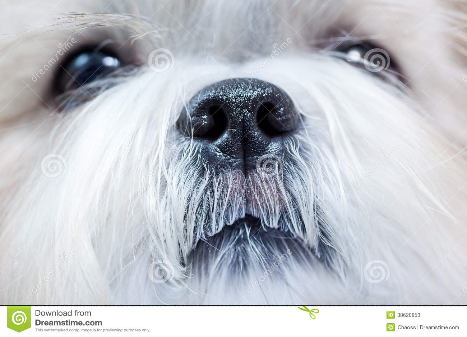 Shih tzu狗