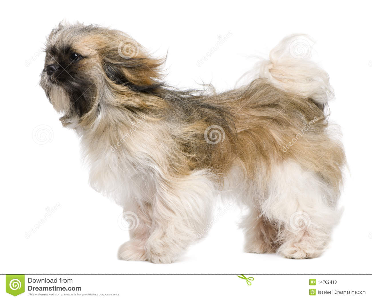 Shih Tzu 1 Year Old Windswept And Standing Stock Photo Image Of