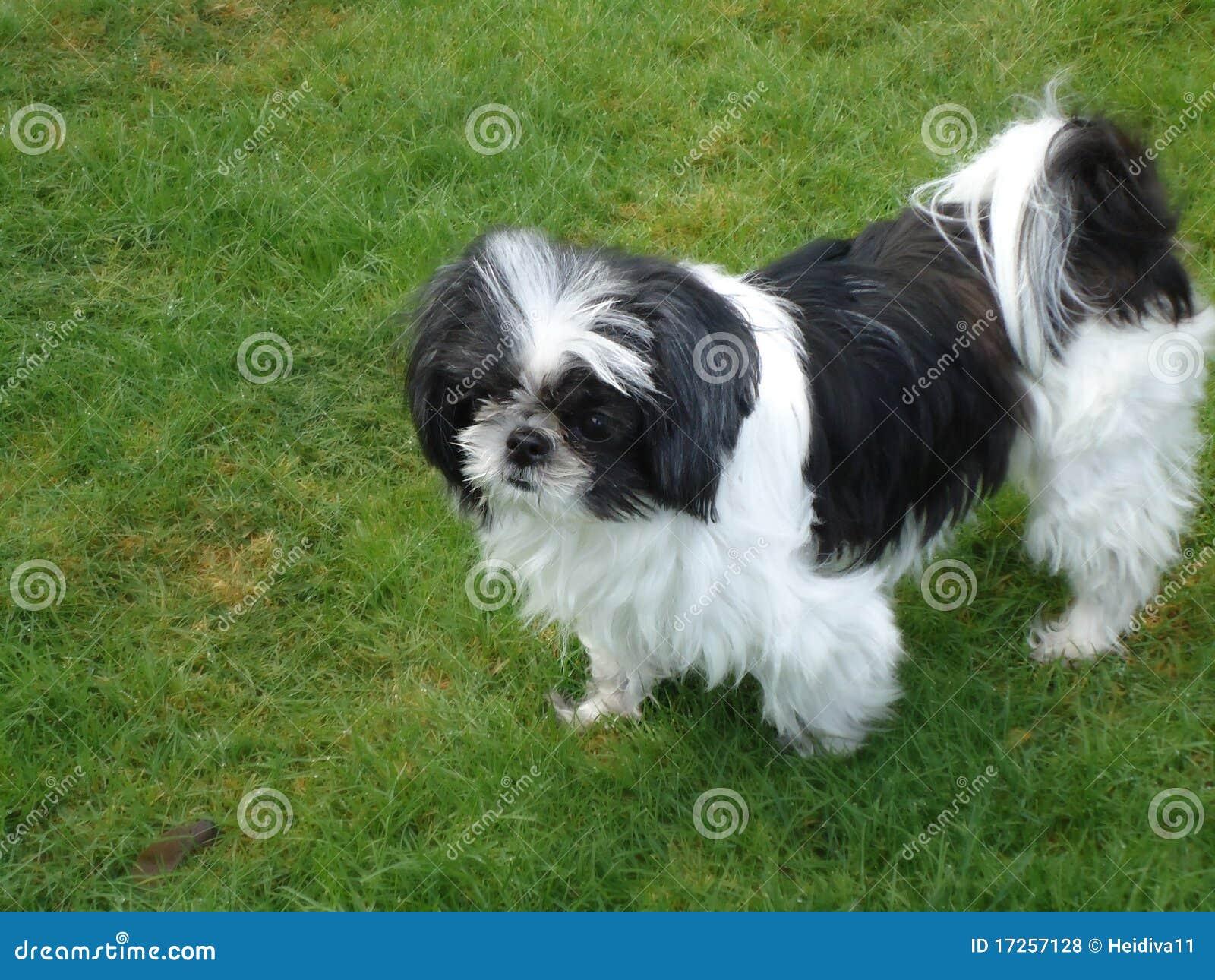 Shih Tzu Stockfoto Bild Von Hund Haustiere Outdoor 17257128
