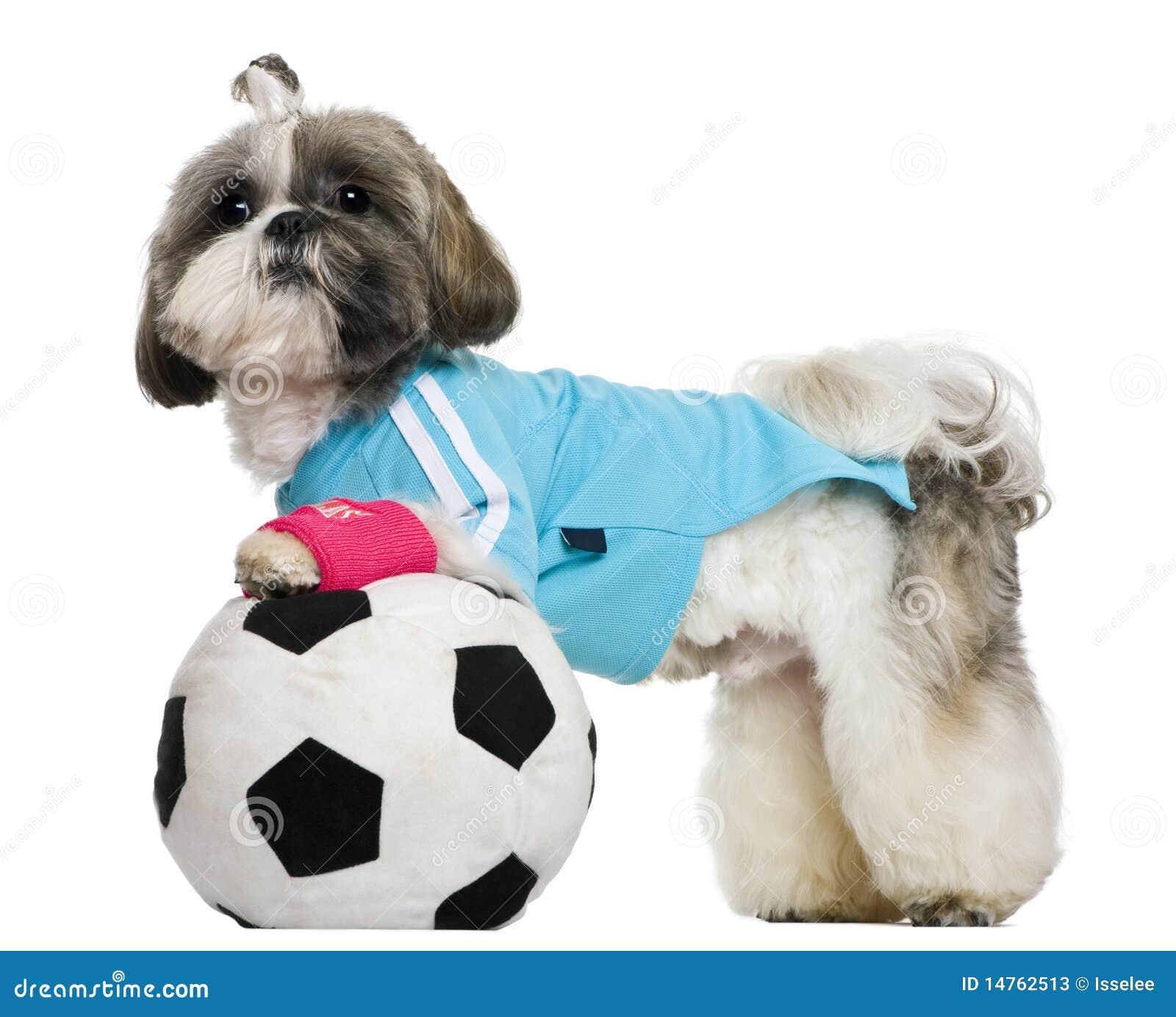 Shih Tzu, 18 meses, vestidos com esfera de futebol