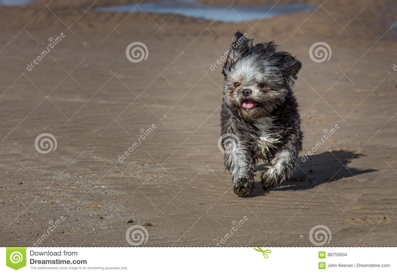 Shih Tzu on a beach