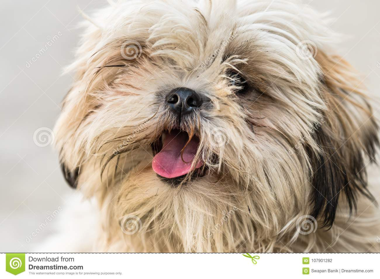 Shih Tzu Breed Of Dog With Open Mouth Stock Photo Image Of Canine