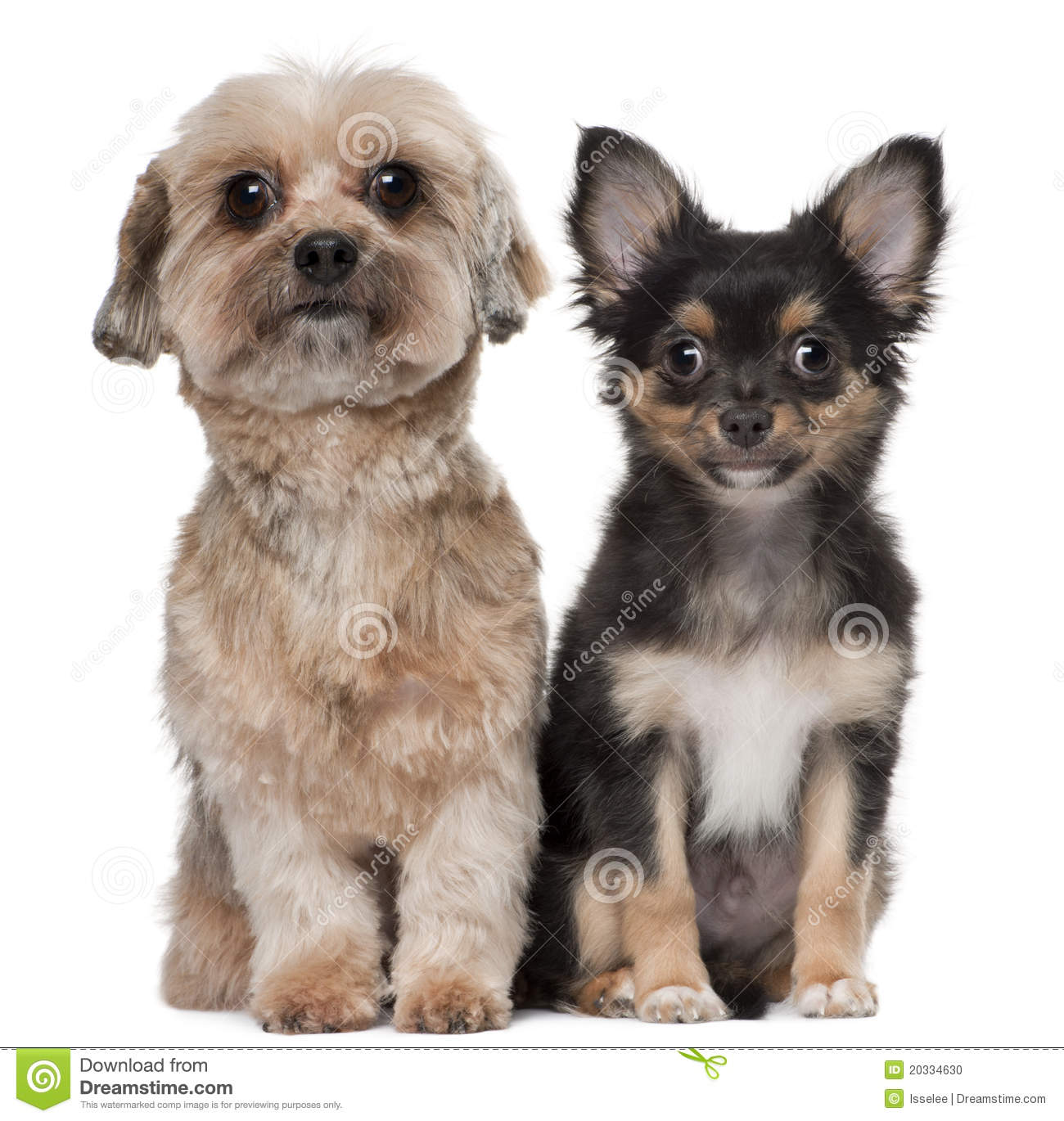 Shih Tzu and Chihuahua, 5 years old and 3 months old, sitting in front ...