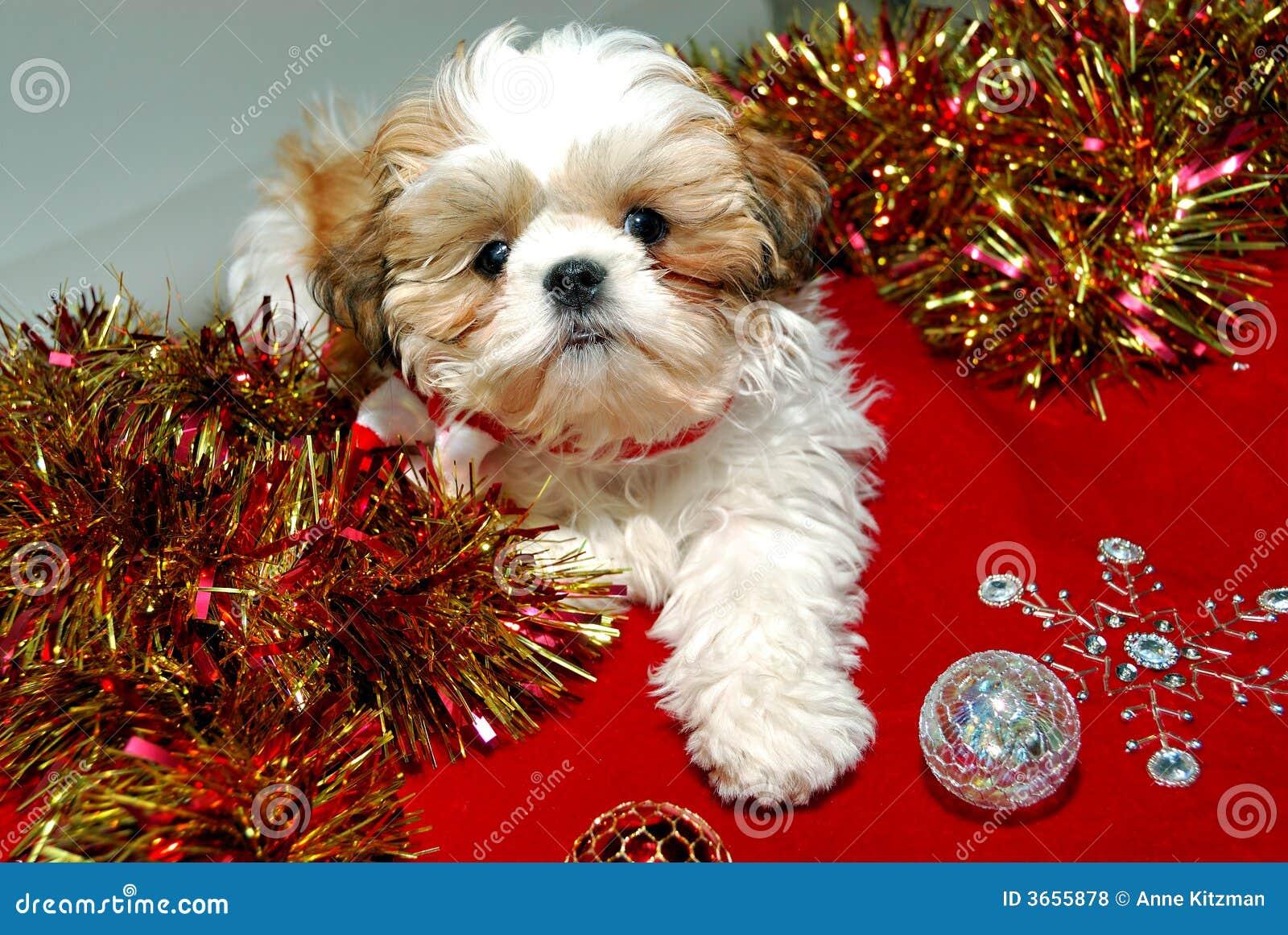 Shih Tzu Christmas Royalty Free Stock Photos - Image: 3655878